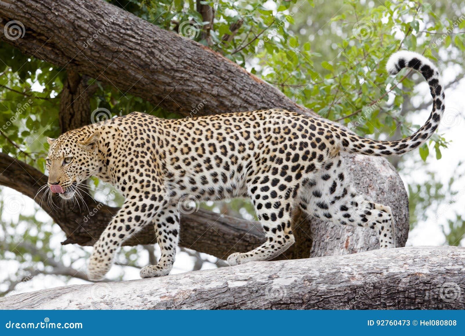 Leopardo, África
