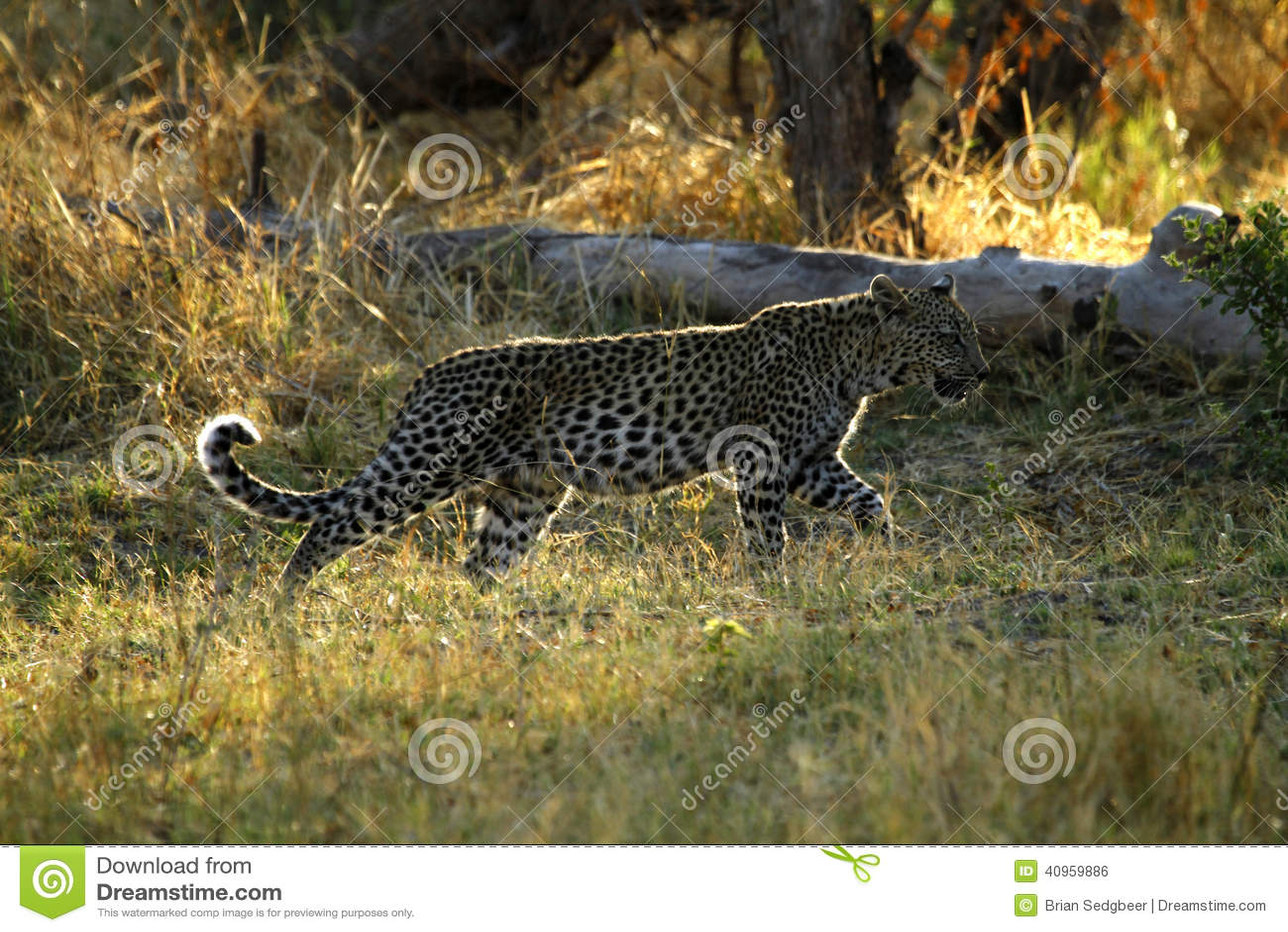 Leopardo africano Cub