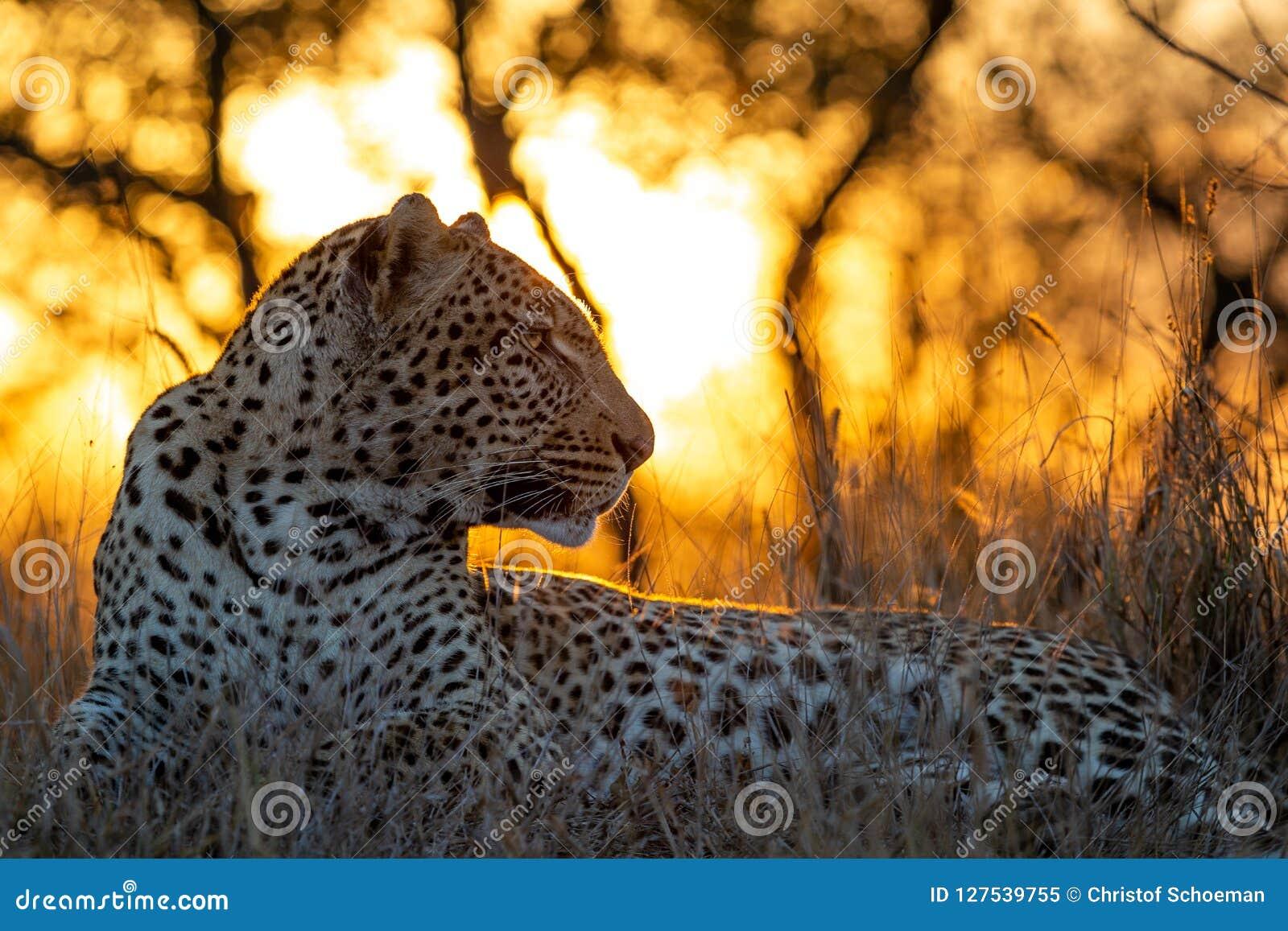 Leopardo africano no crepúsculo