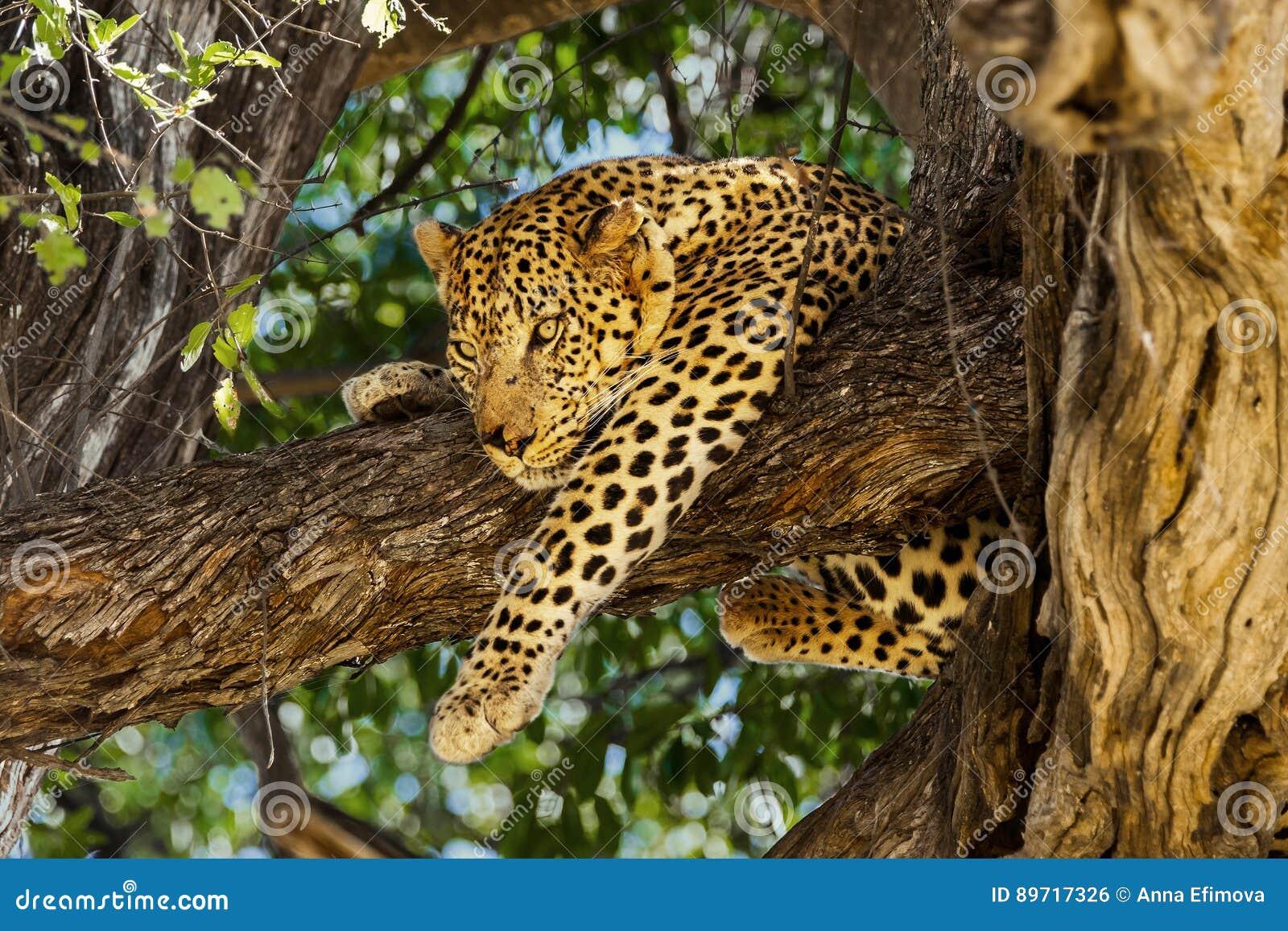 Leopardo in albero