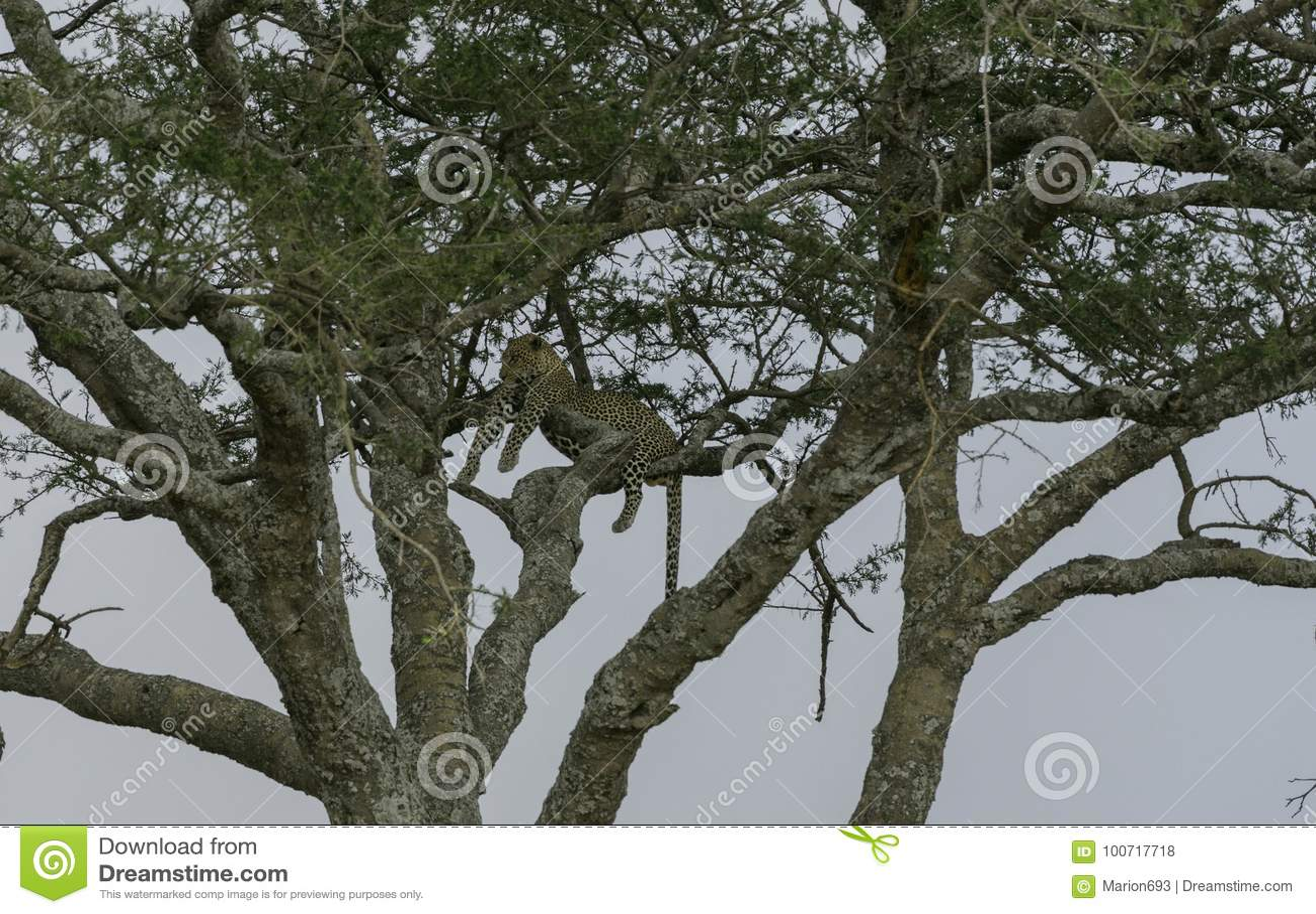 Leopardo alto acima na árvore, encontrando-se através do ramos, olhando à esquerda