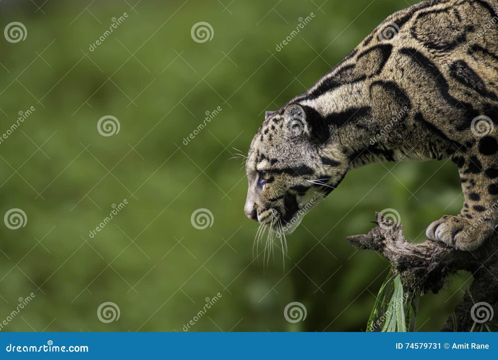 Leopardo apannato