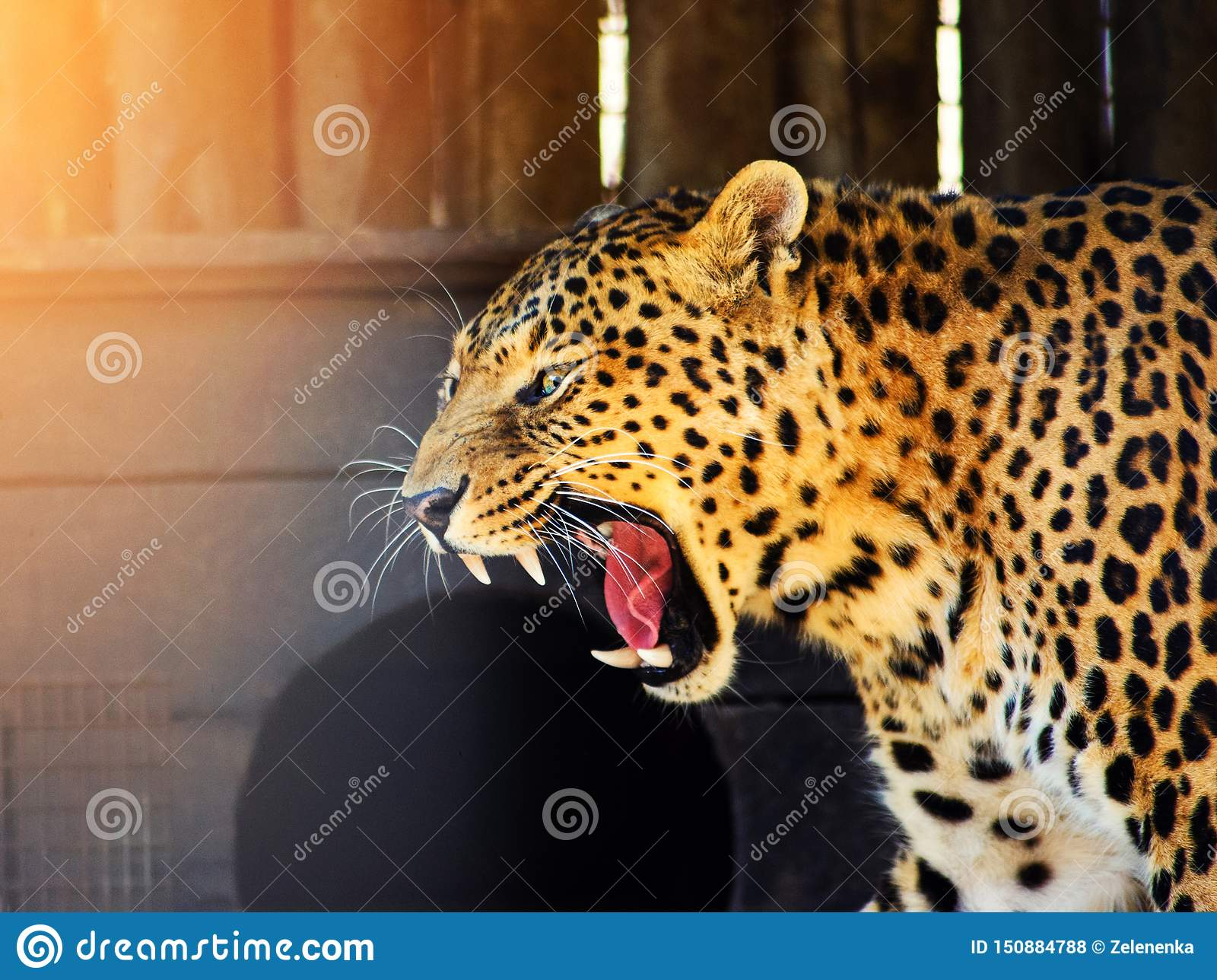 Leopardo arrabbiato
