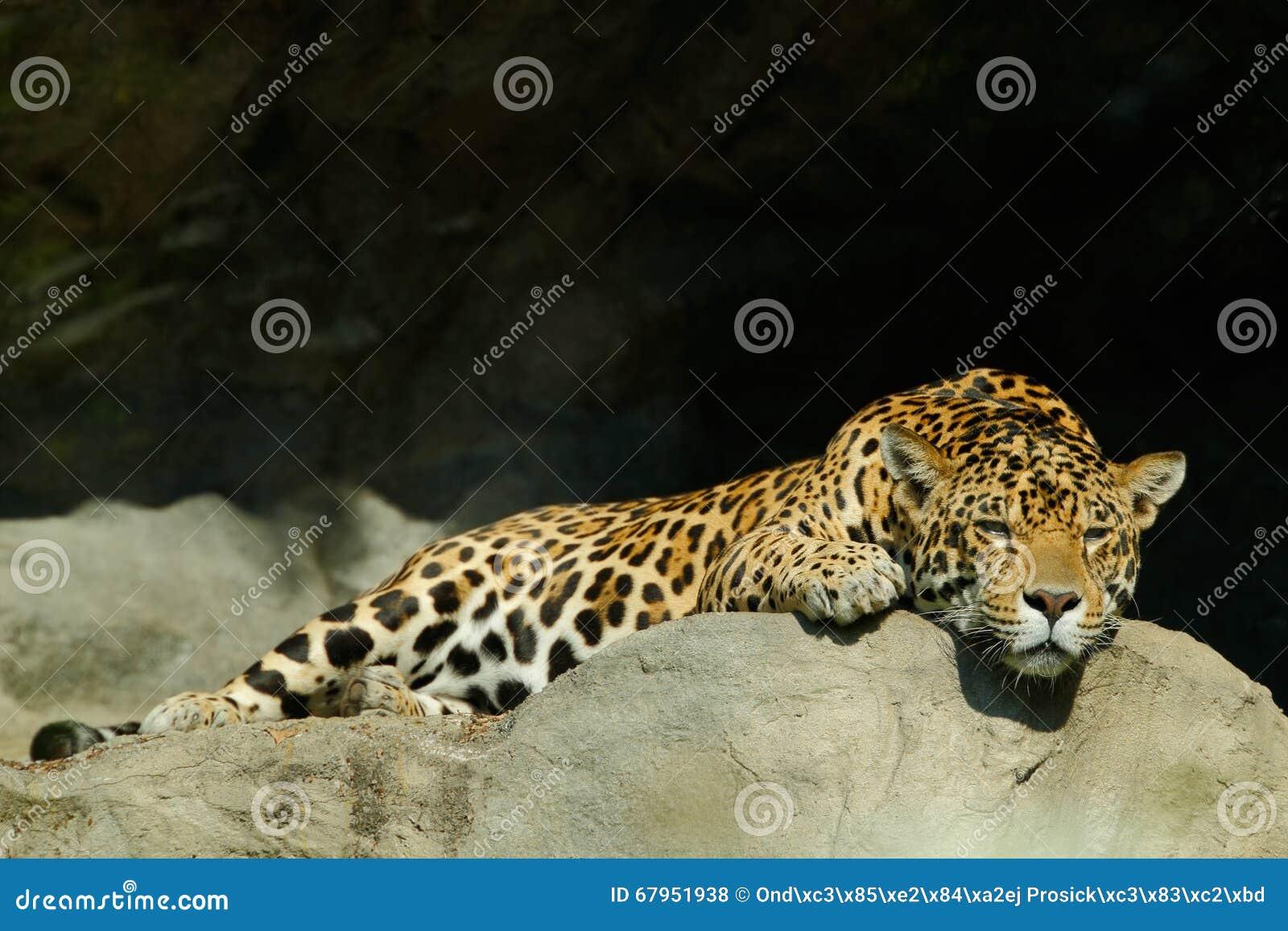 Leopardo cingalês manchado grande do gato, kotiya do pardus do Panthera, encontrando-se na pedra na rocha, parque nacional de Yal