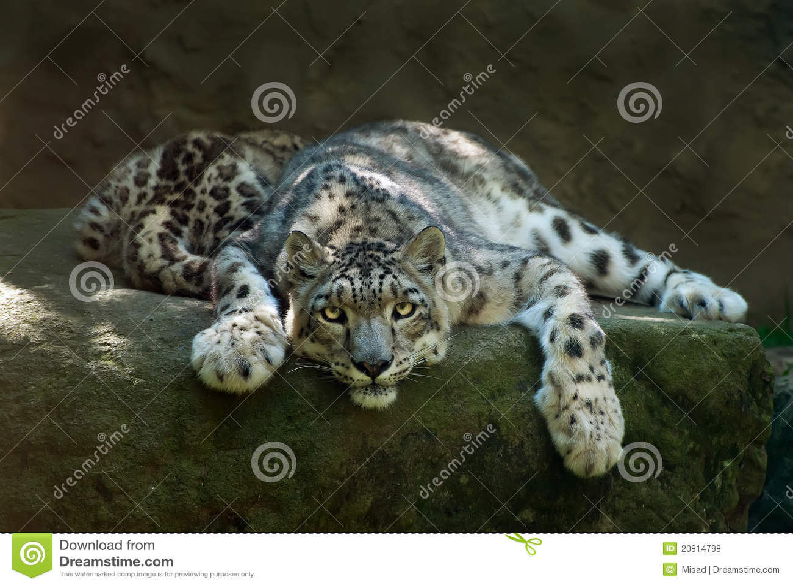 Leopardo de neve