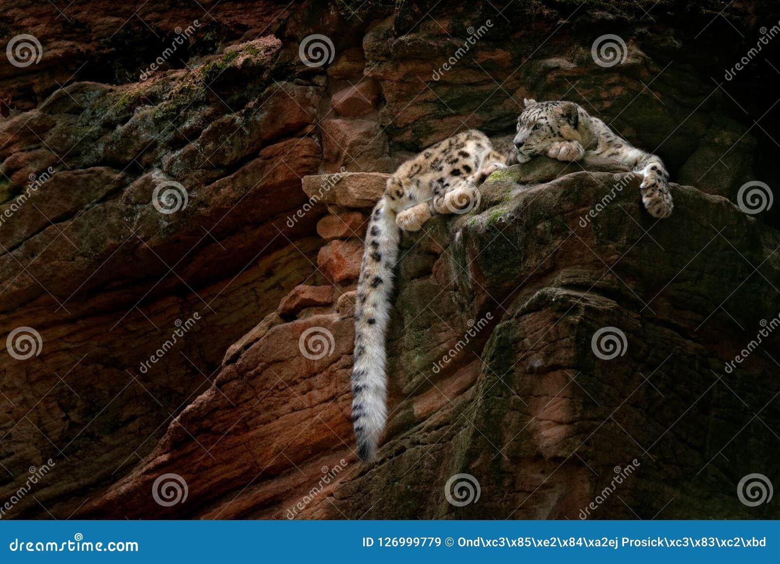 Leopardo de neve com a cauda longa na montanha escura da rocha, parque nacional de Hemis, Kashmir, Índia Cena dos animais selvage