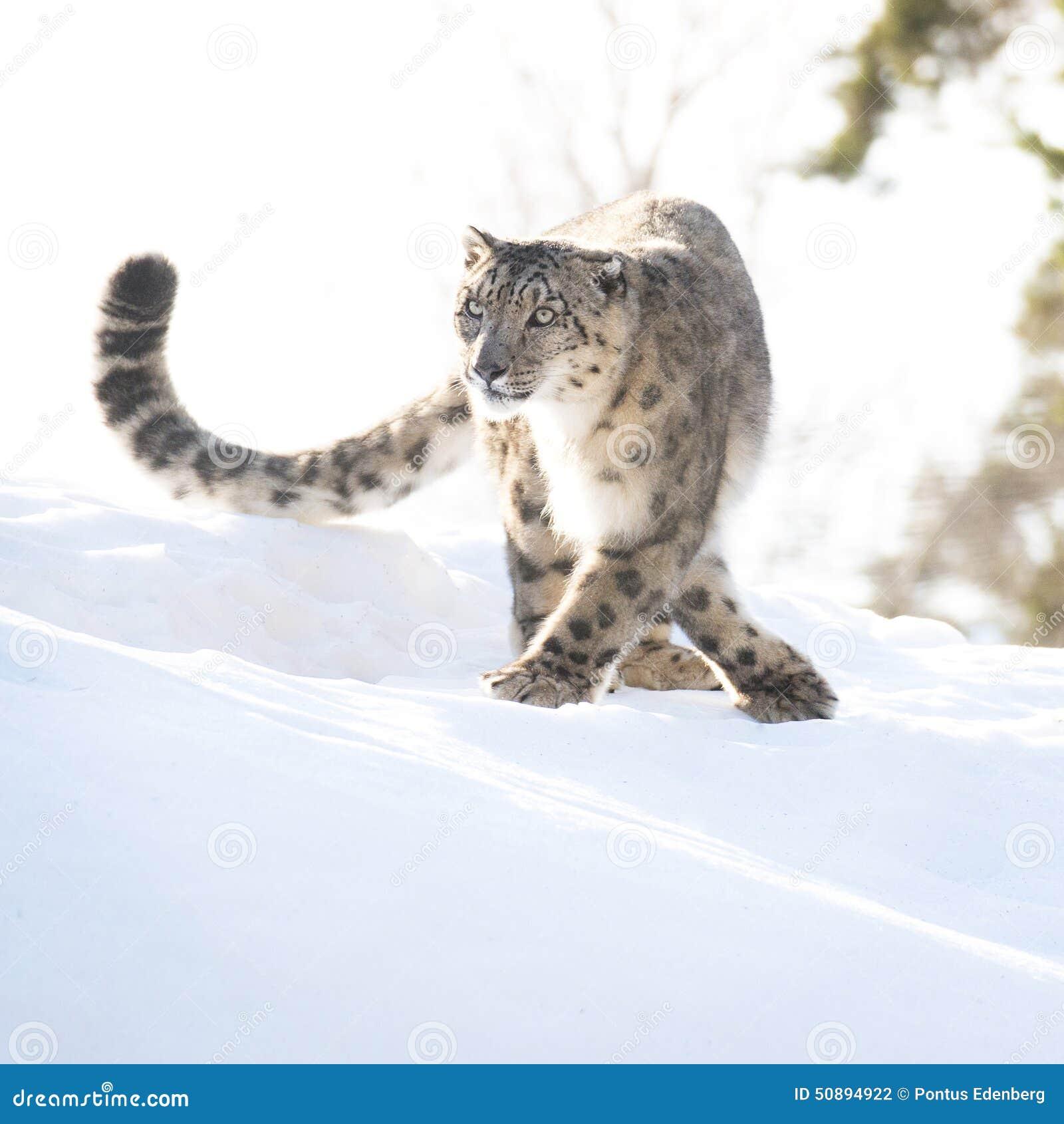 Leopardo de neve no inverno