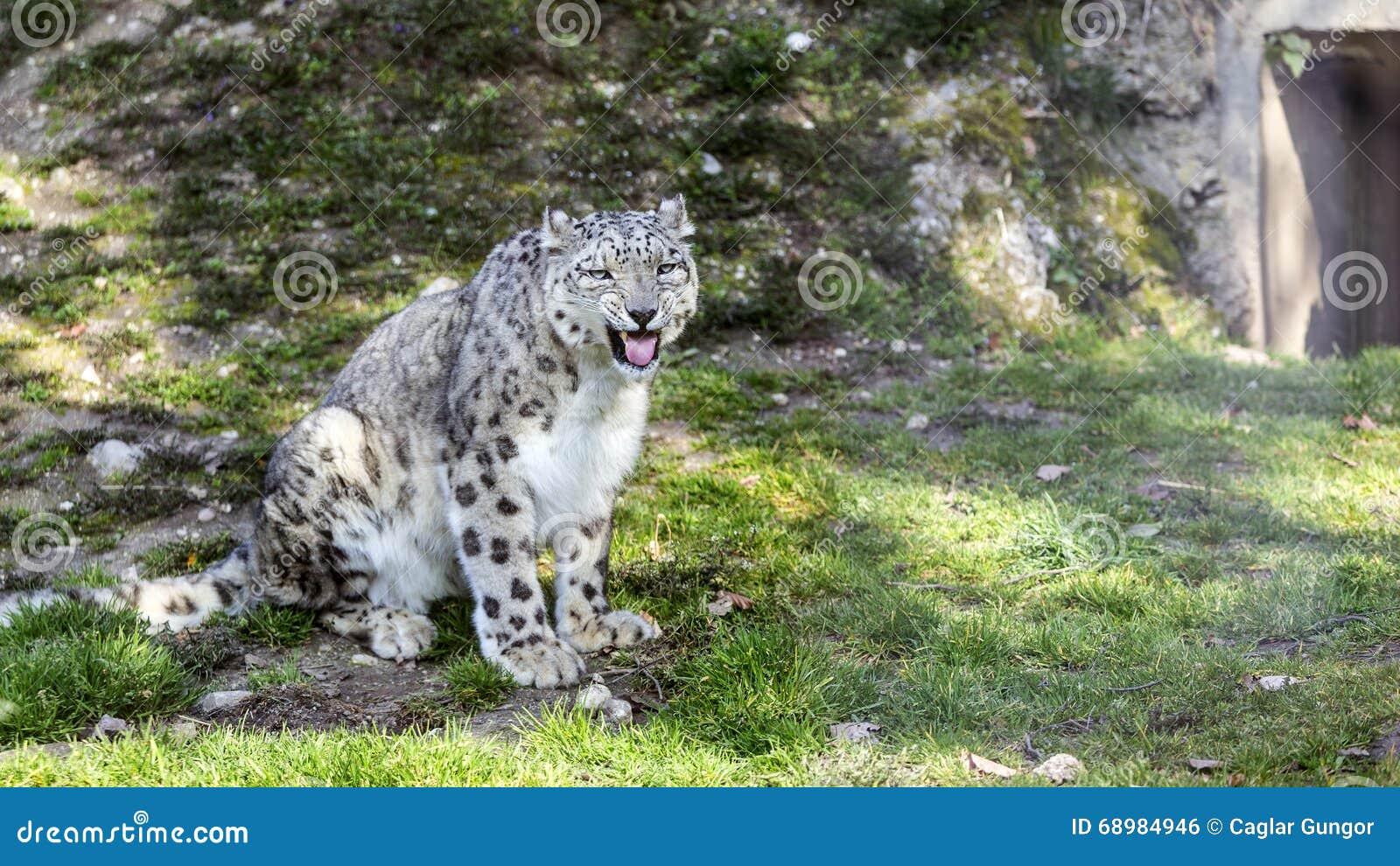 Leopardo de nieve
