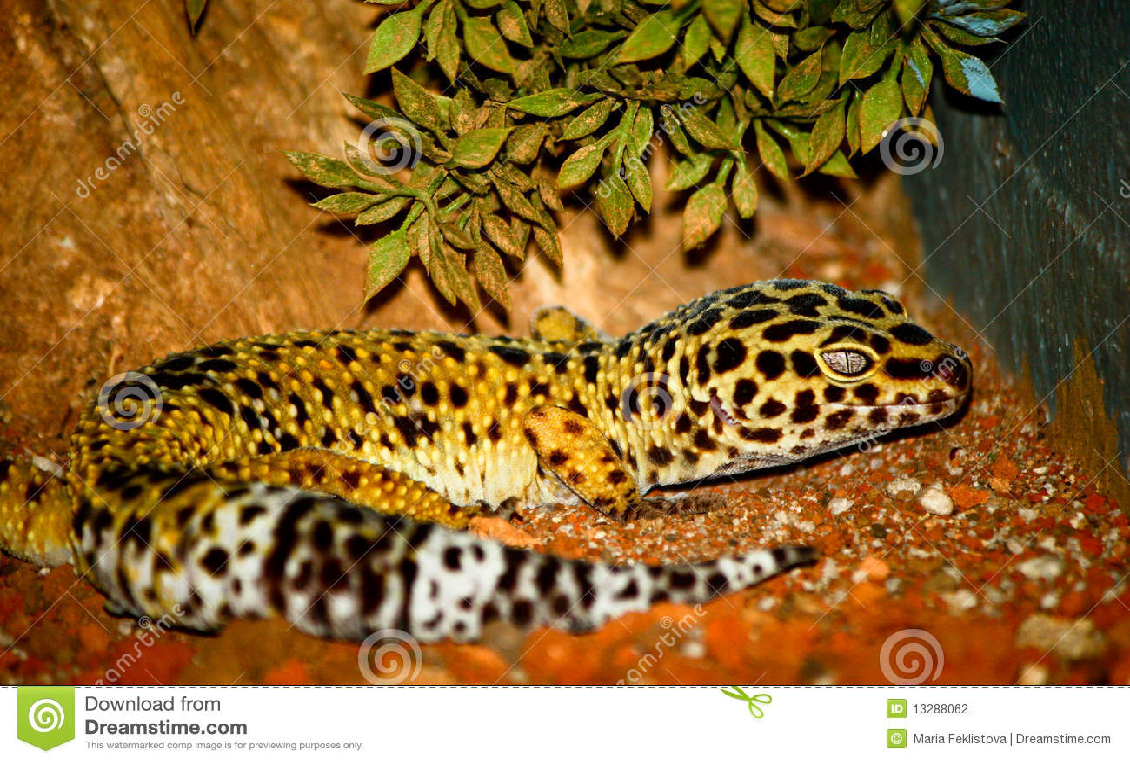 Leopardo del Gecko