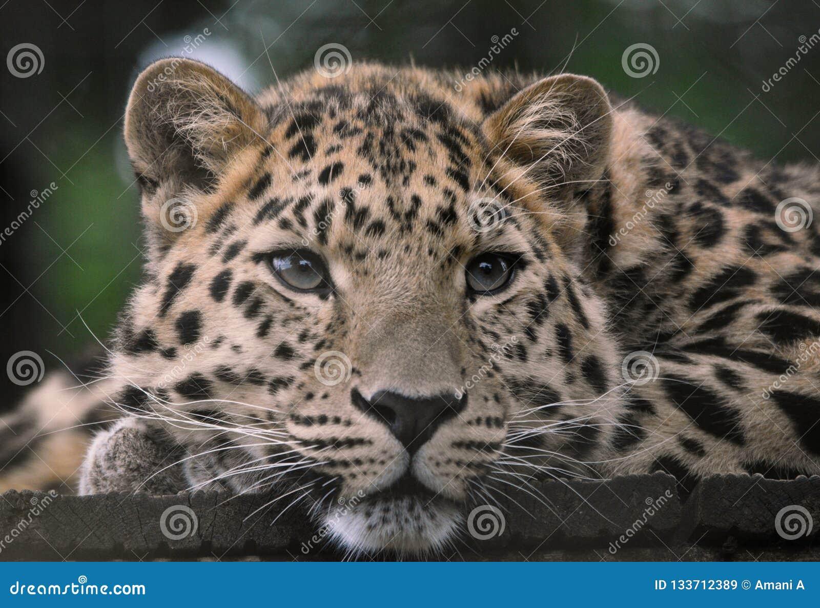 Leopardo dell Amur con gli occhi malinconici