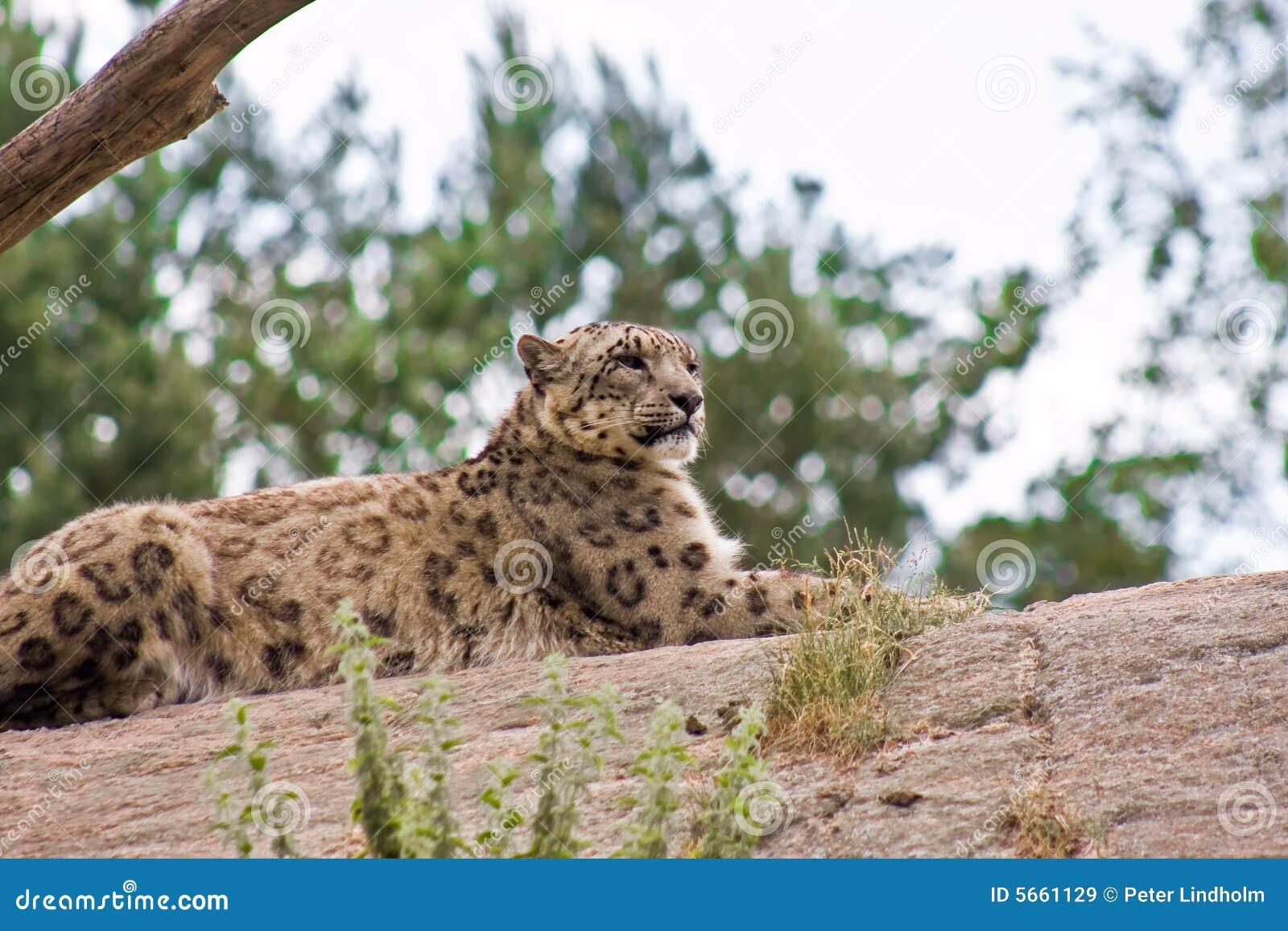 Leopardo di neve