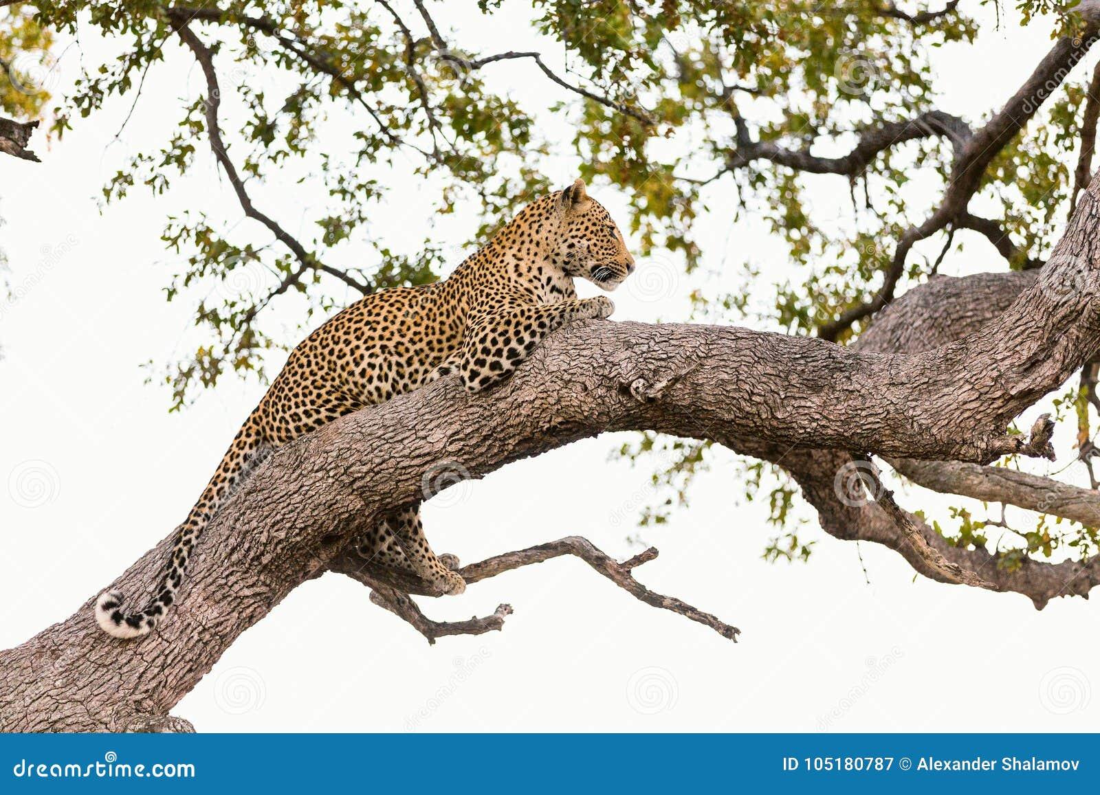 Leopardo em uma árvore