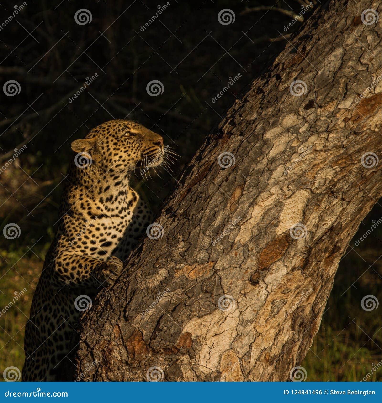 Leopardo en el pie de un árbol