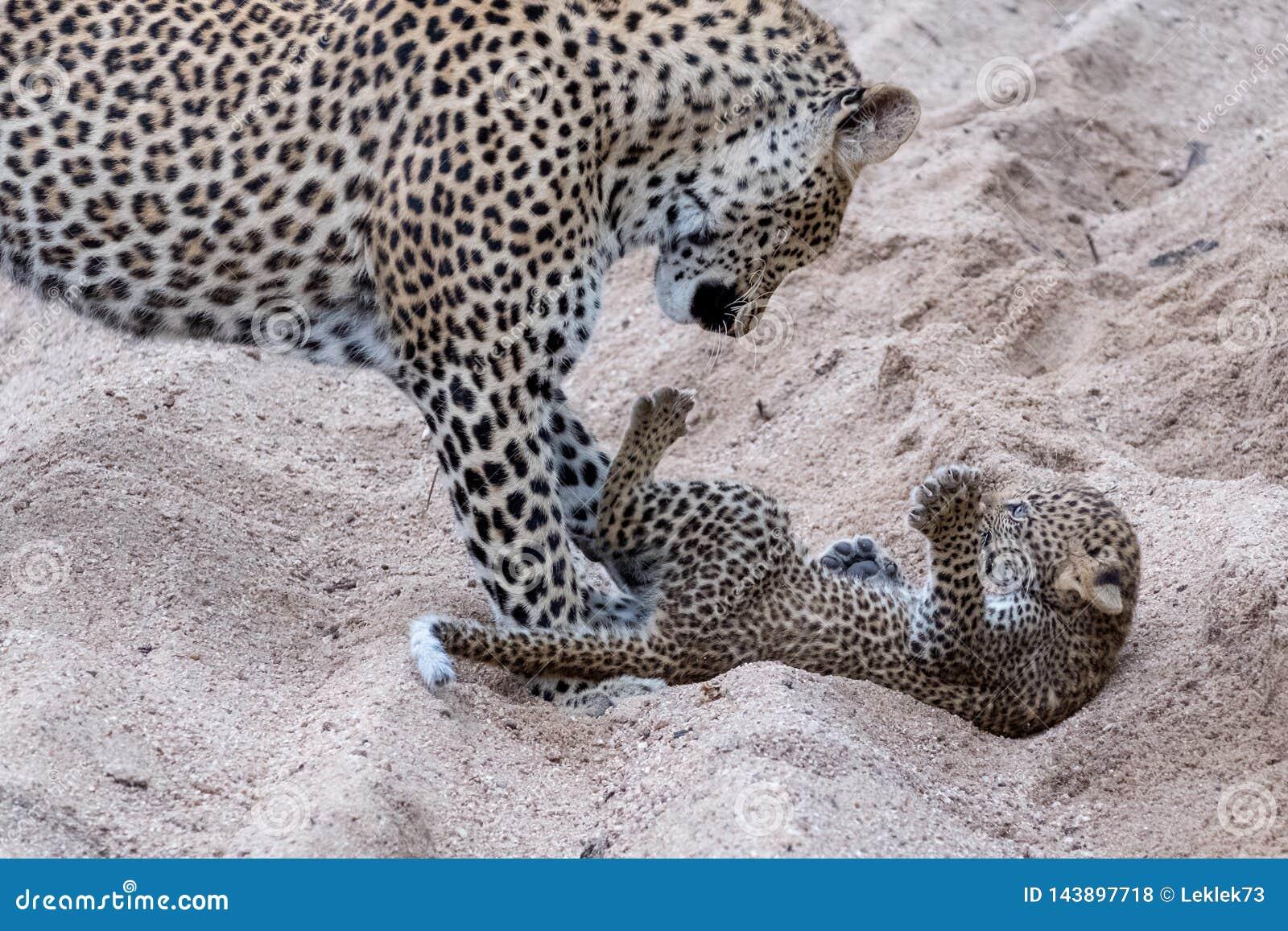 Leopardo femenino adulto y cachorro que juegan inofensivo en la arena en el parque del safari de Sabi Sands, Kruger, Sur?frica