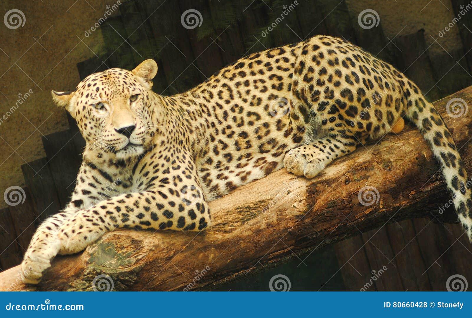 Leopardo giallo che si siede su un ramo
