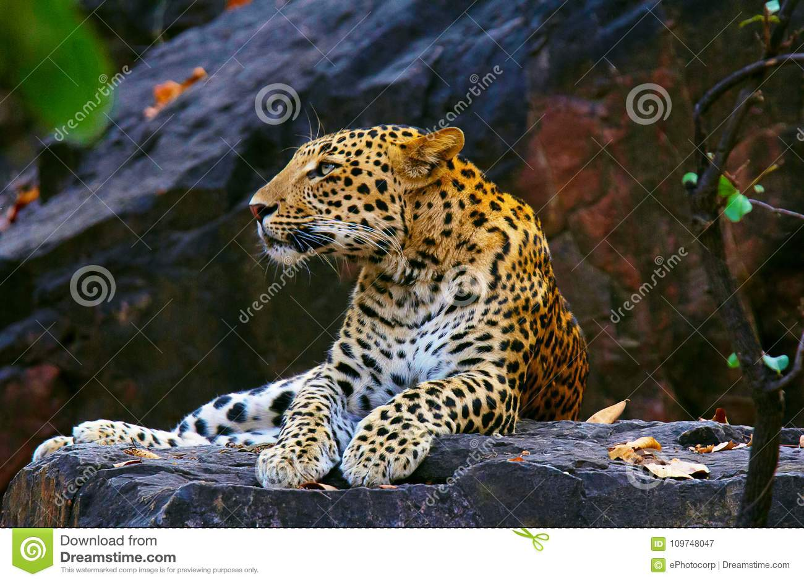 Leopardo indio, fusca del pardus del Panthera, Ranthambhore Tiger Reserve, Rajasthán