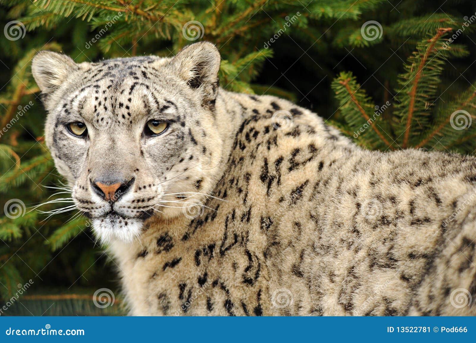 Leopardo, leopardo de nieve