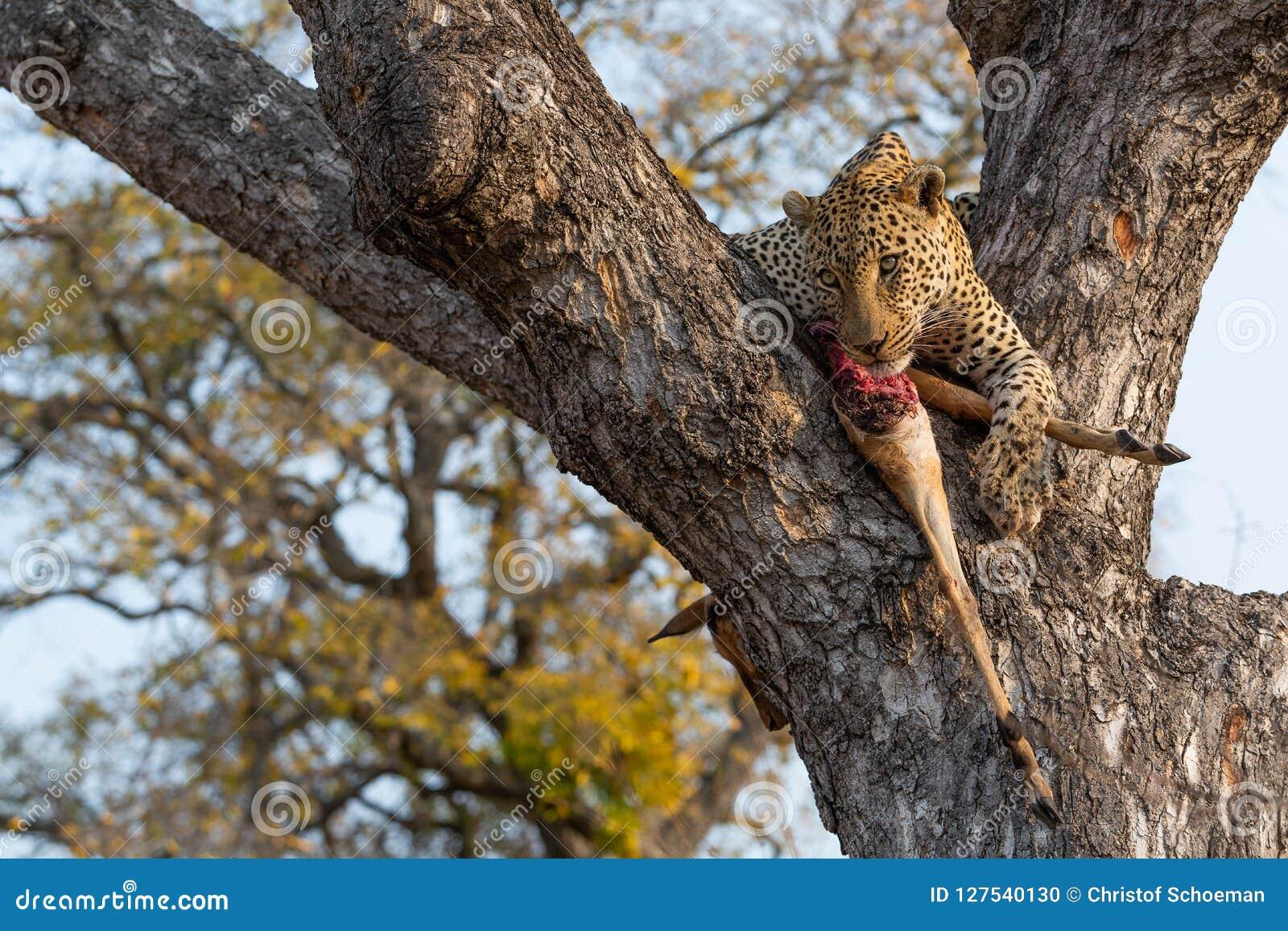 Leopardo masculino con una matanza fresca del impala en árbol