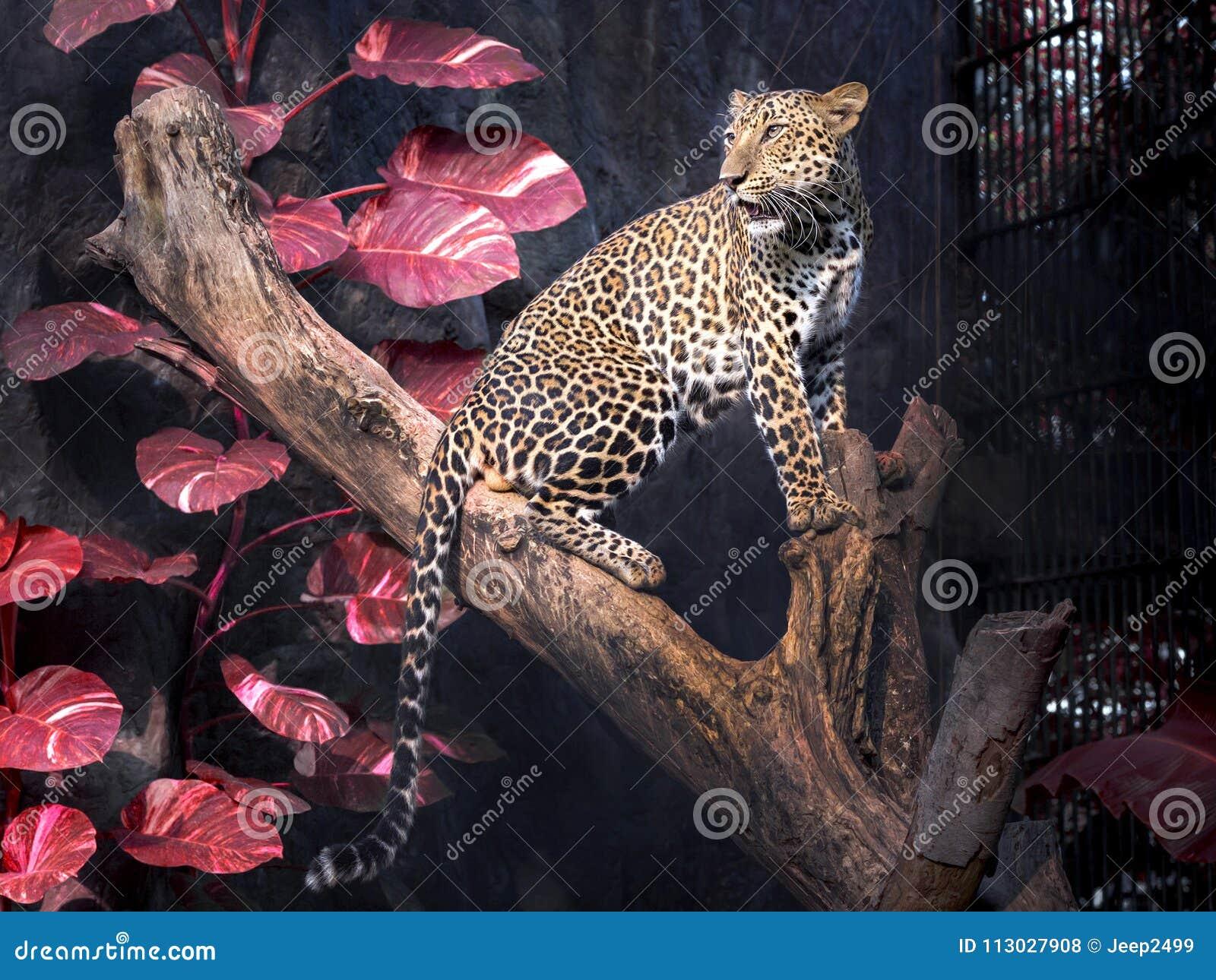 Leopardo masculino en una rama de árbol