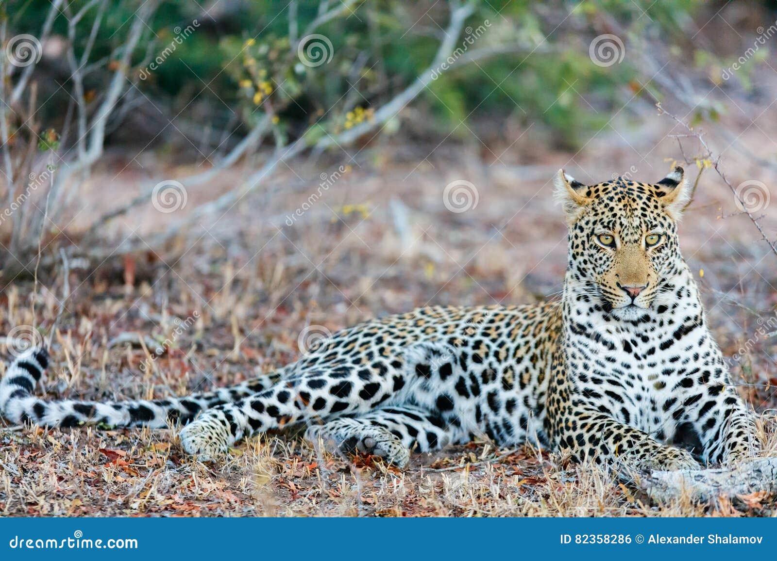 Leopardo masculino joven