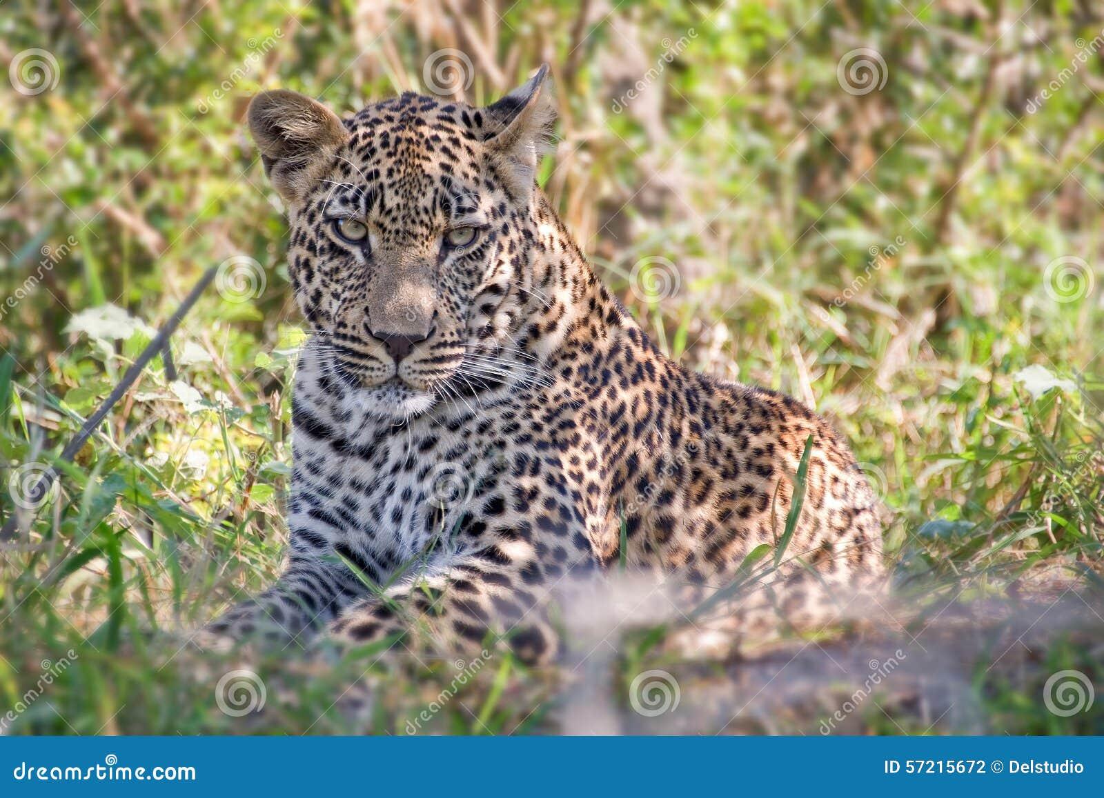 Leopardo masculino novo, África do Sul