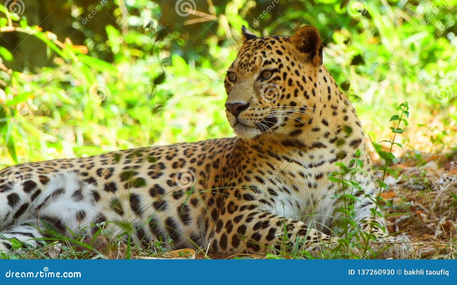 Leopardo na árvore na luz Snmek da tarde