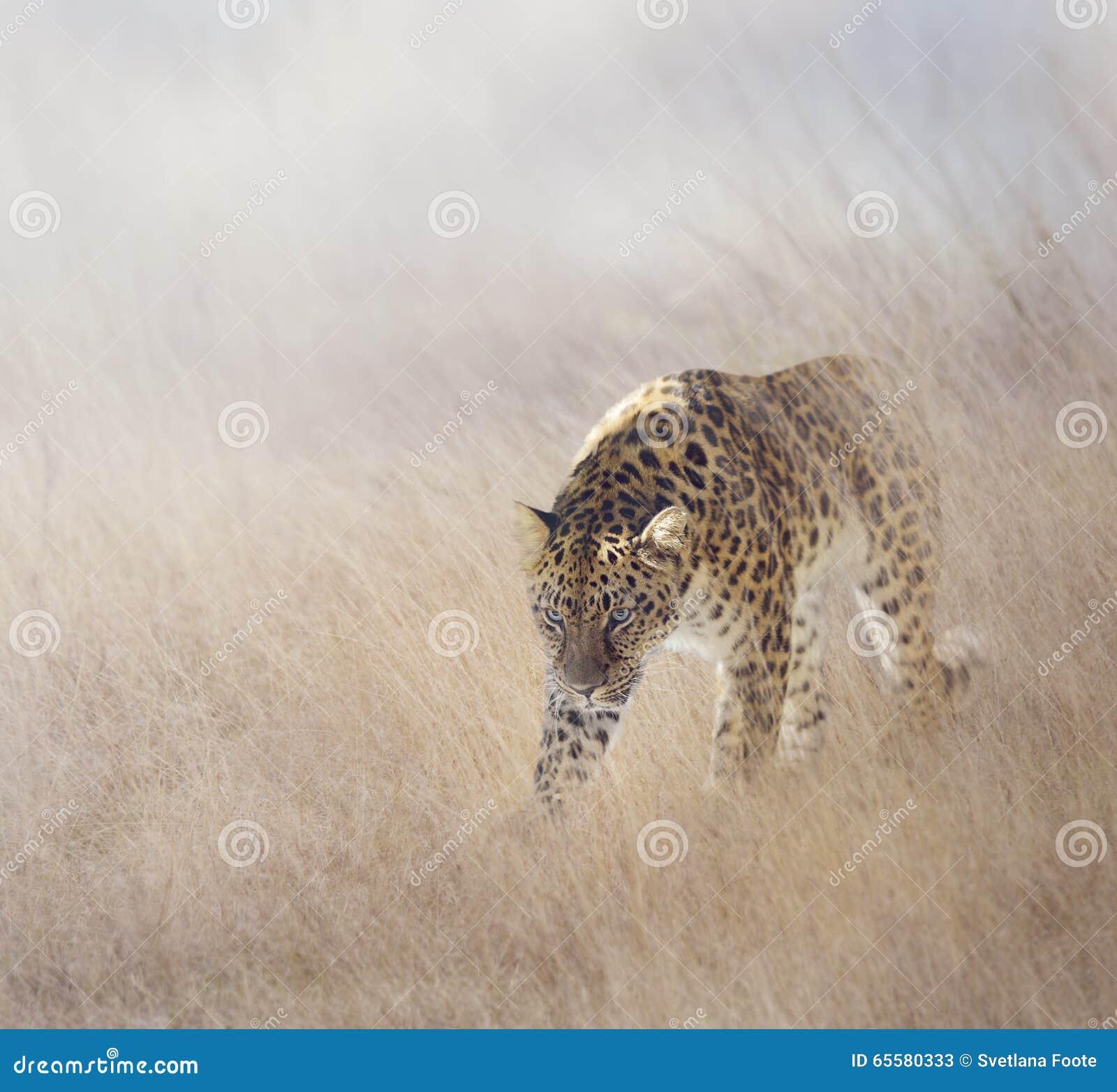 Leopardo na grama