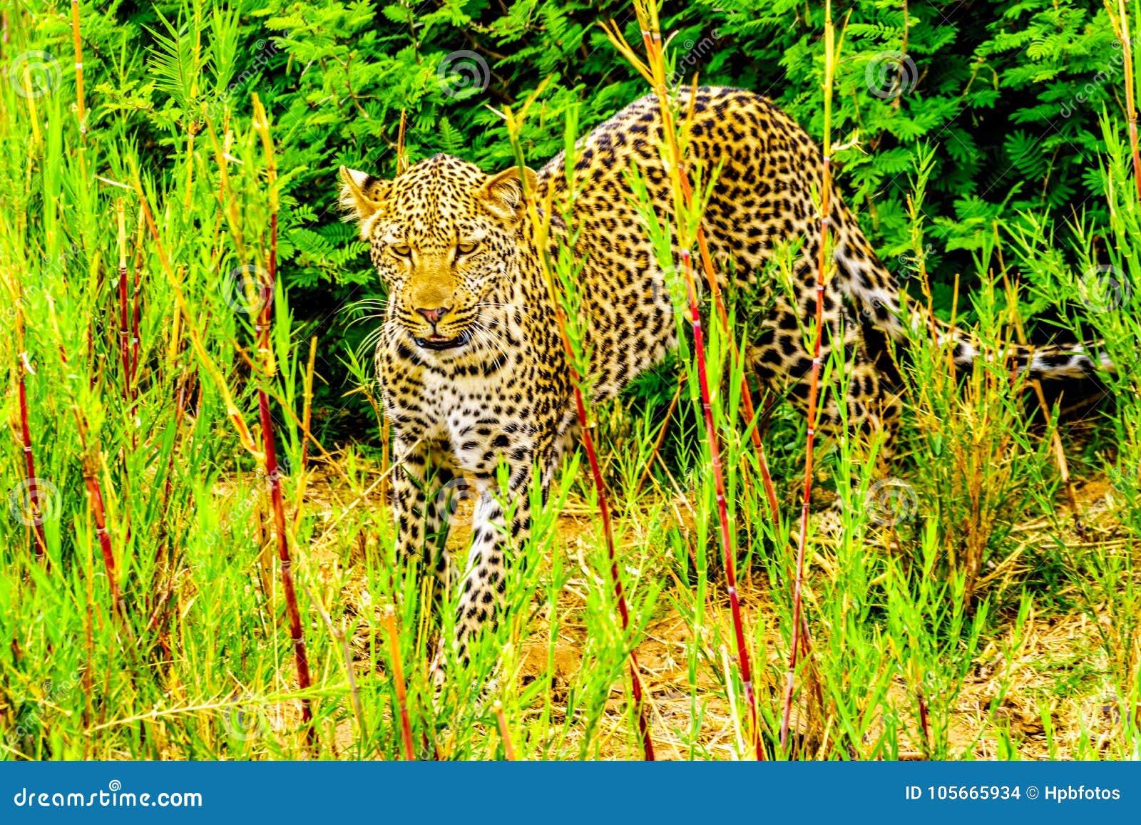 Leopardo nell alta erba lungo il fiume di Olifant nel parco nazionale di Kruger