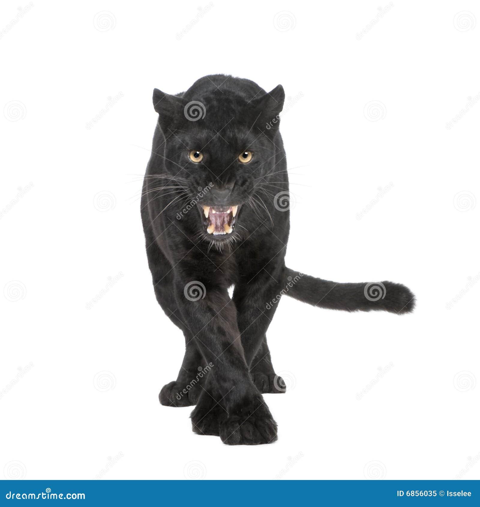 Leopardo nero (6 anni)