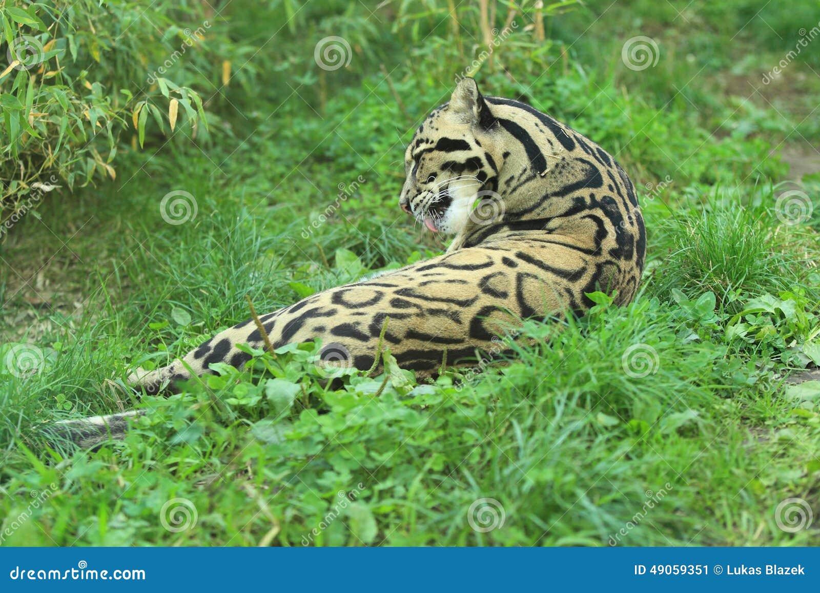 Leopardo nublado de mentira