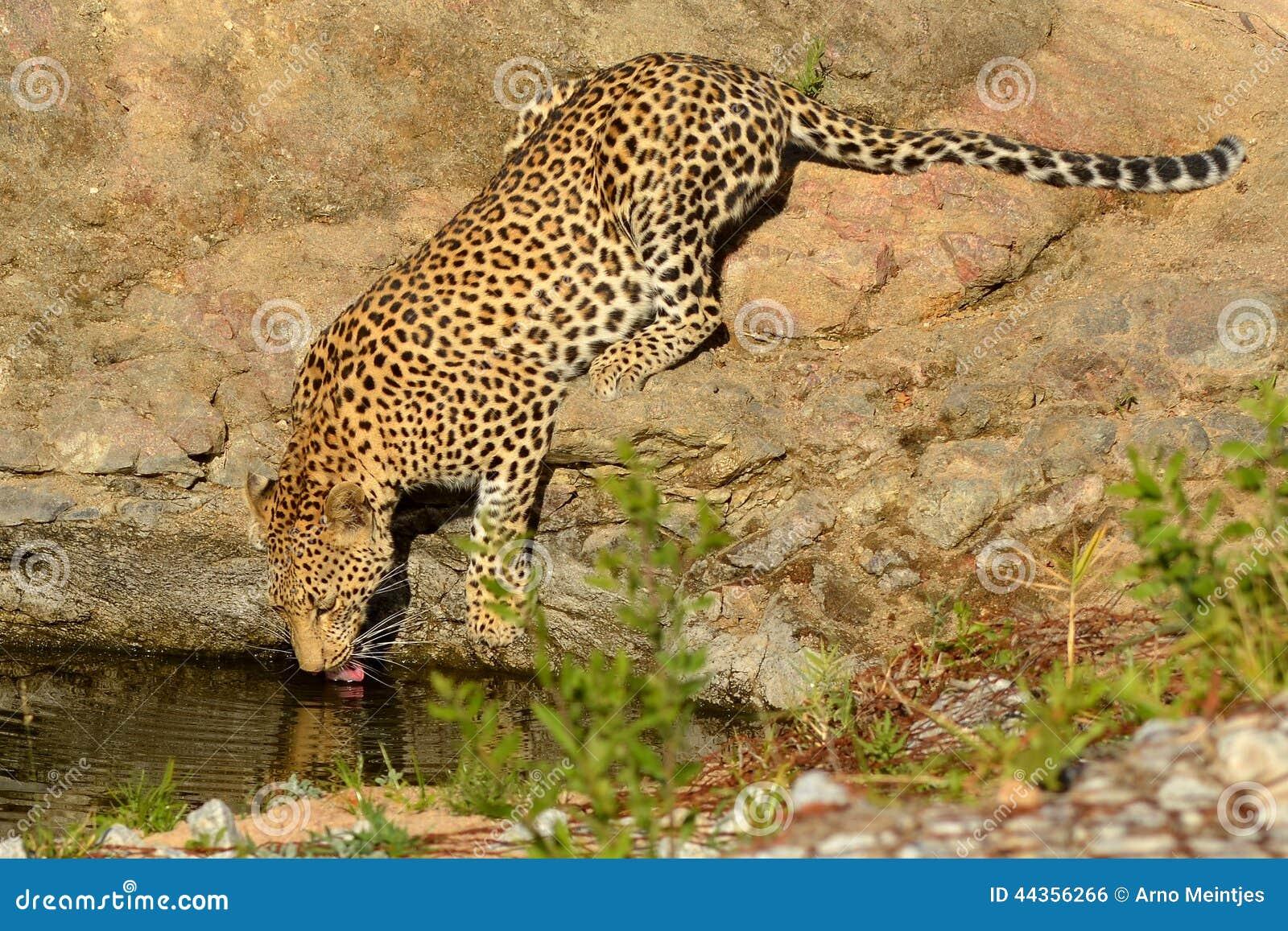 Leopardo (pardus del Panthera)