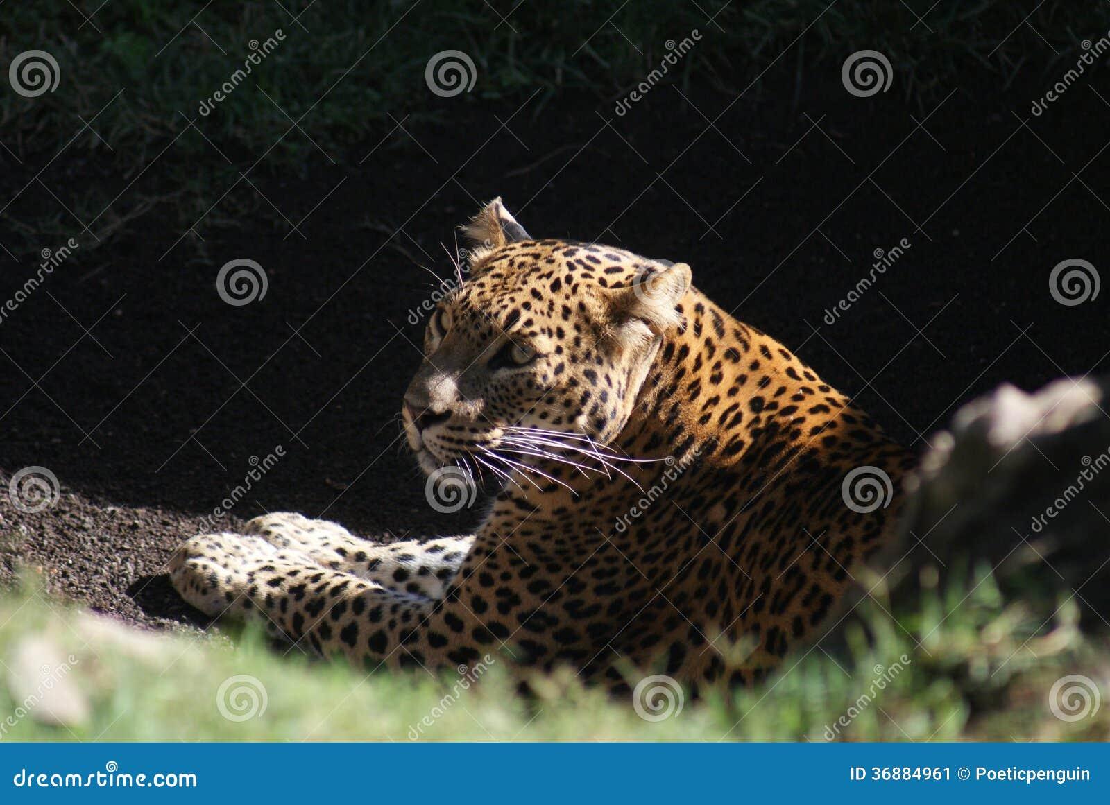 Download Leopardo - Pardus Della Panthera Immagine Stock - Immagine di ferocious, predatore: 36884961