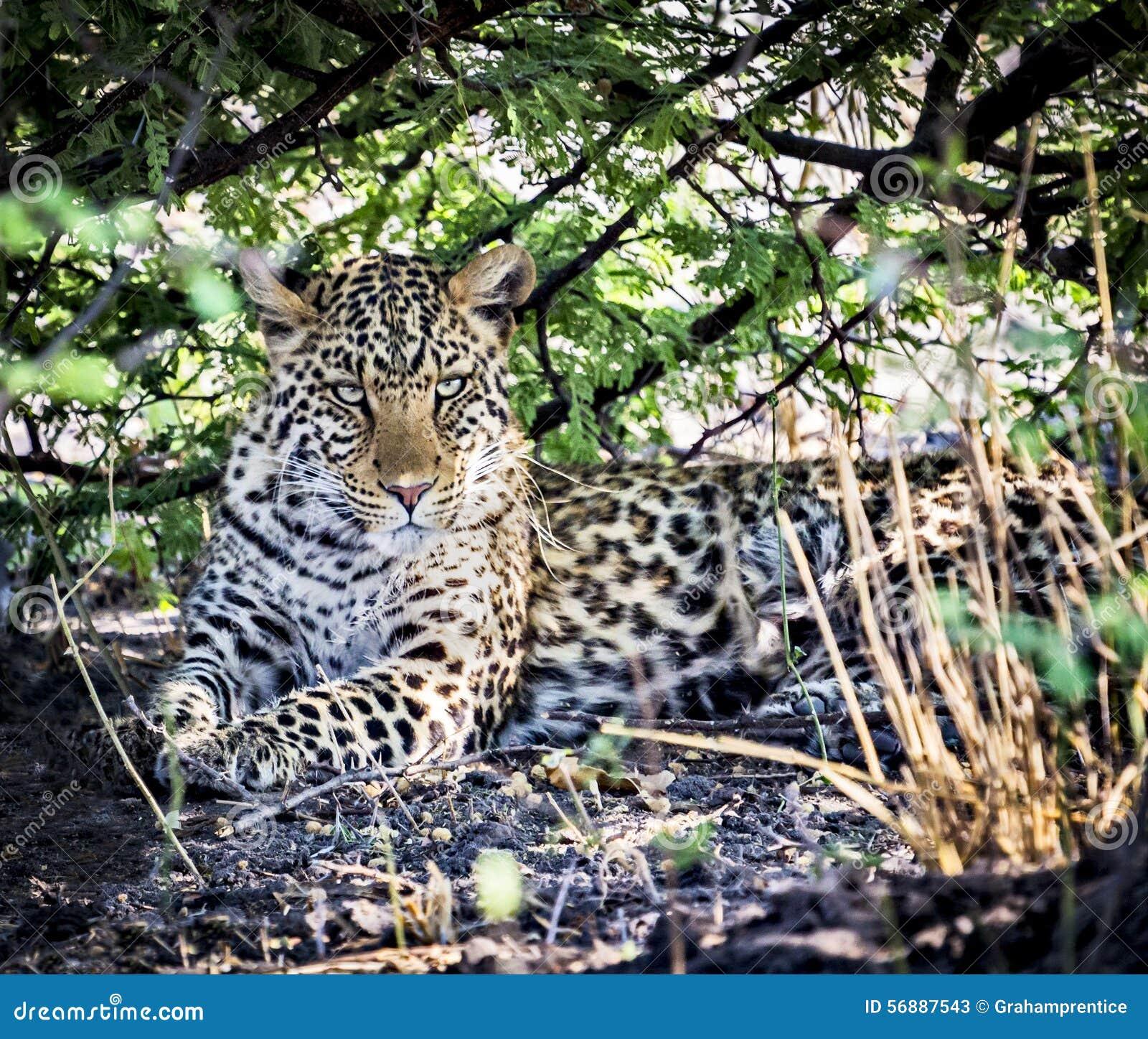 Leopardo (pardus della panthera)