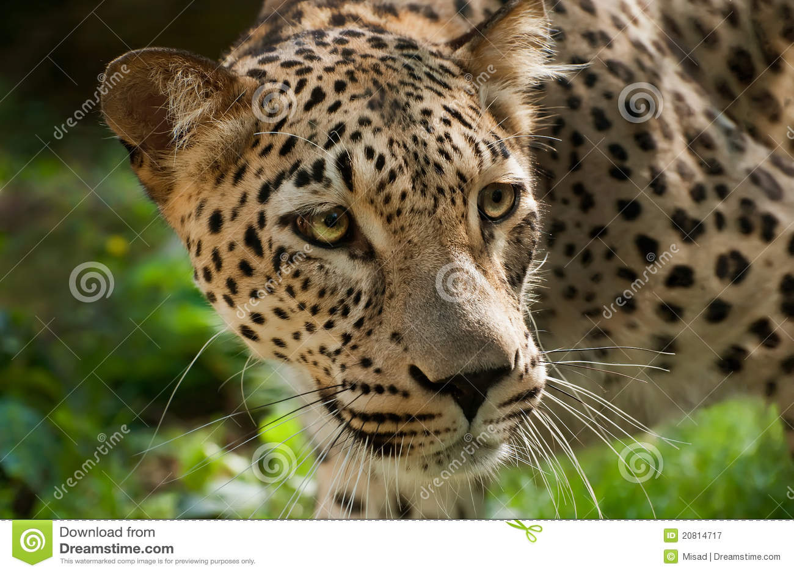 Leopardo persa