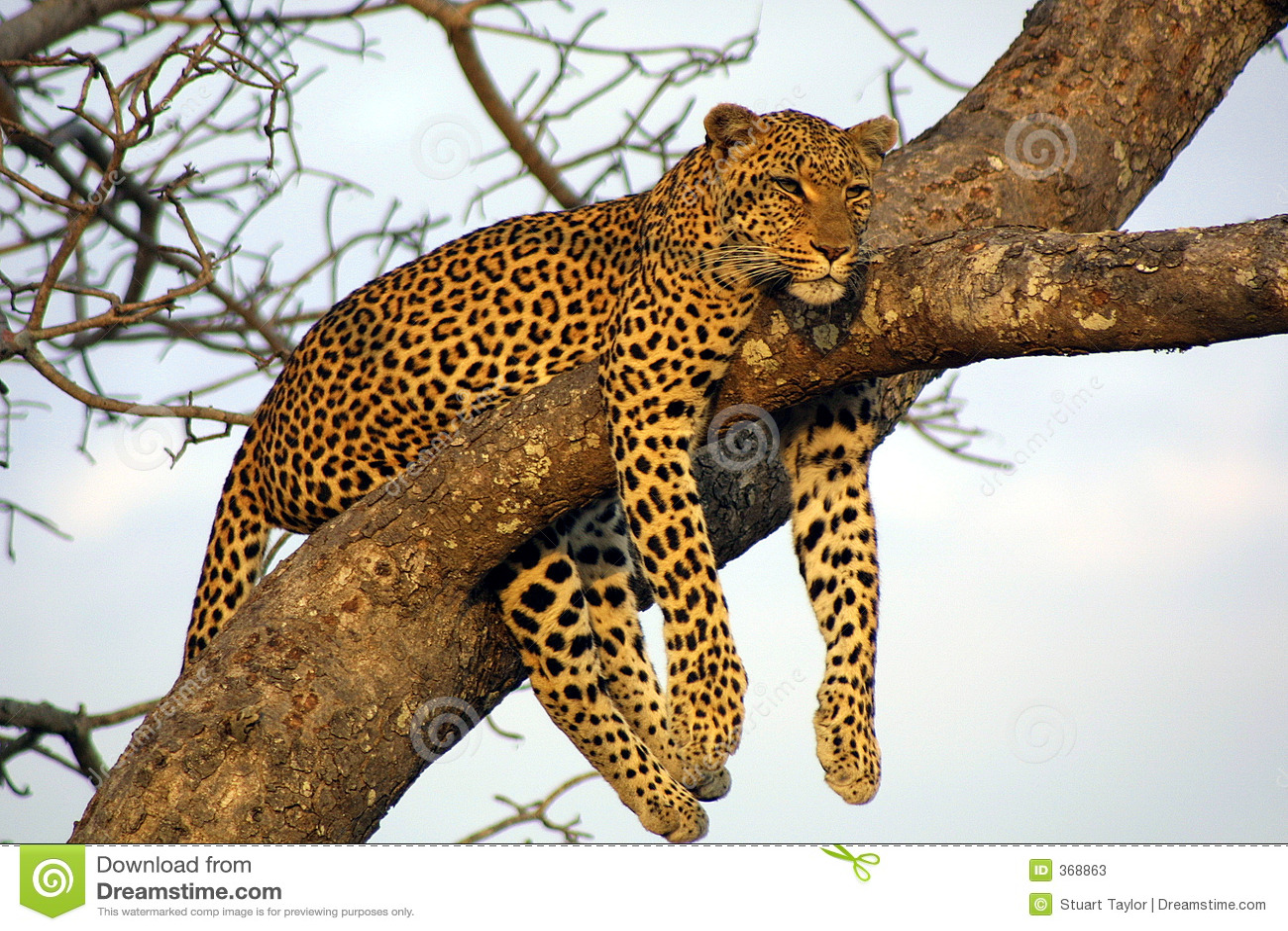 Leopardo pigro di Lounging