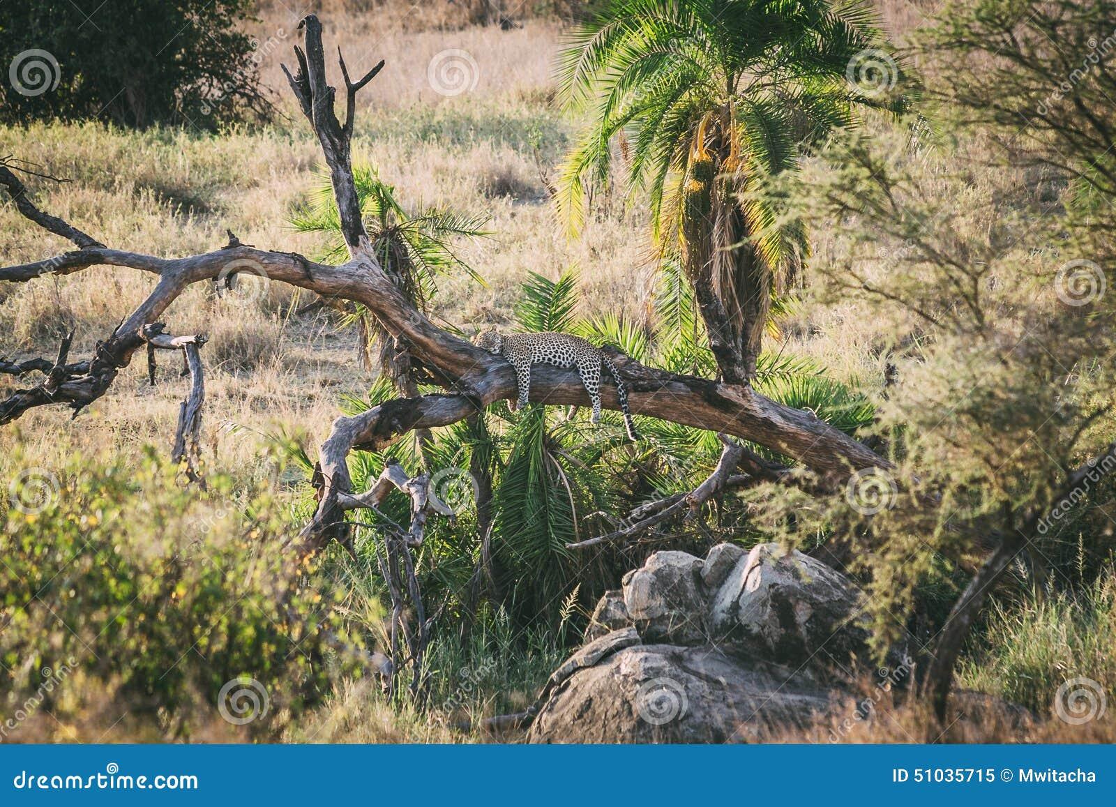 Leopardo preguiçoso