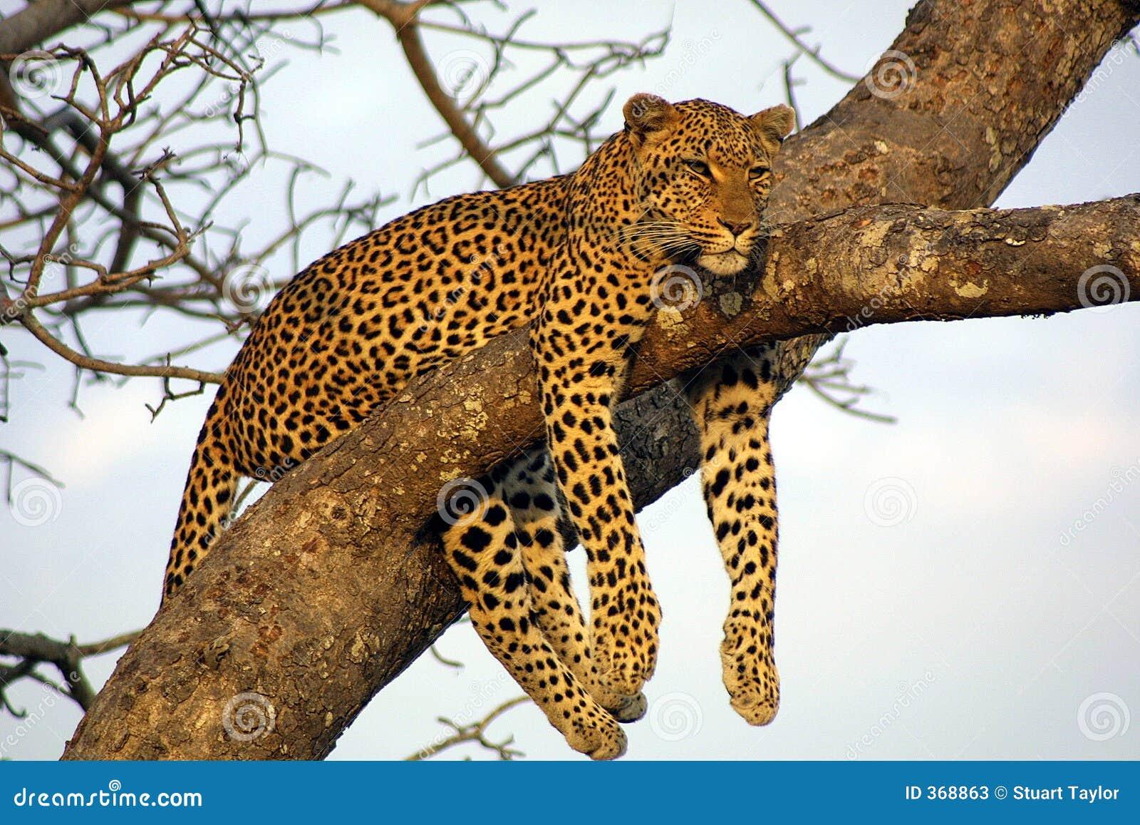 Leopardo preguiçoso de Lounging