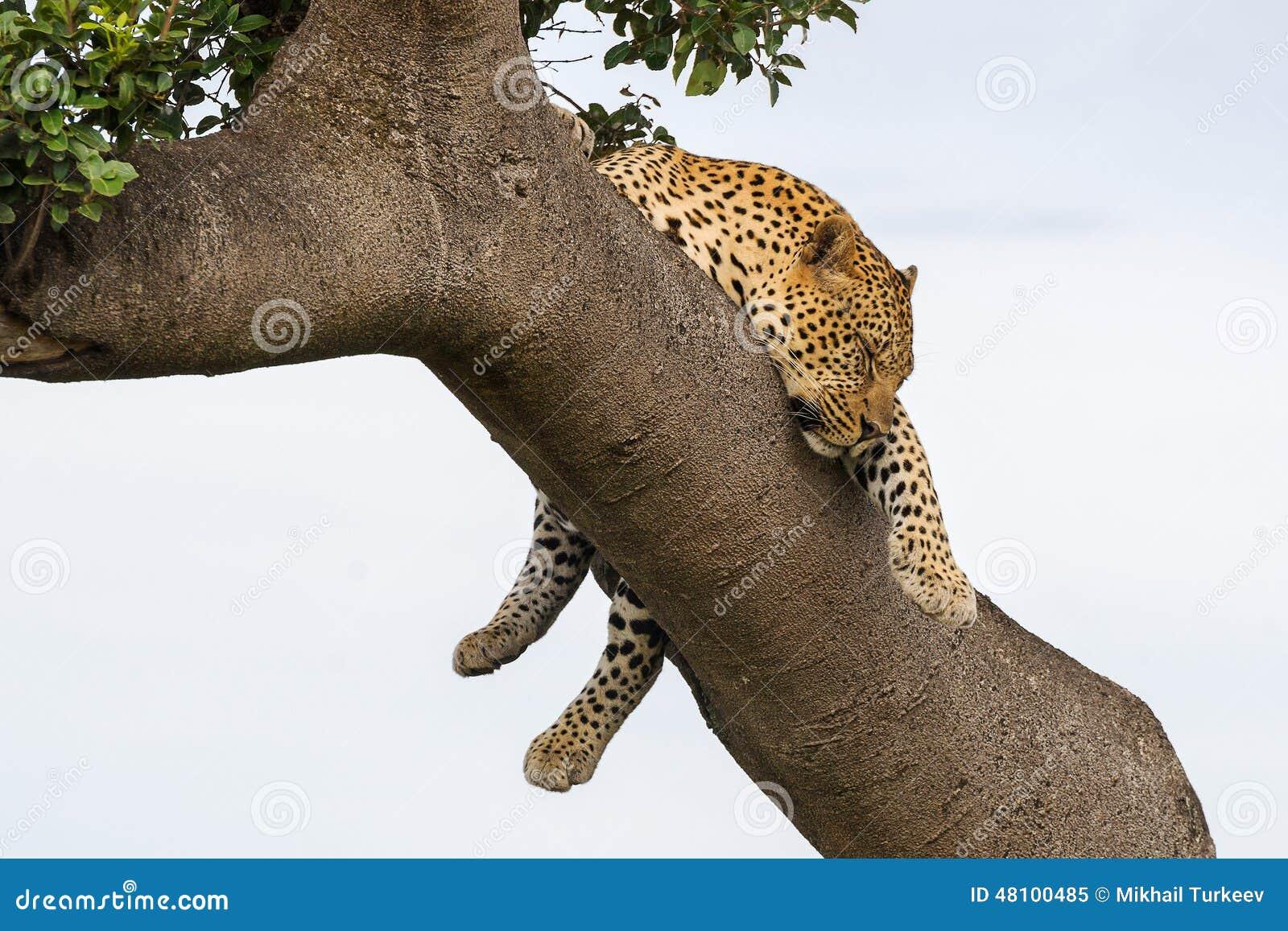 Leopardo que duerme en el árbol