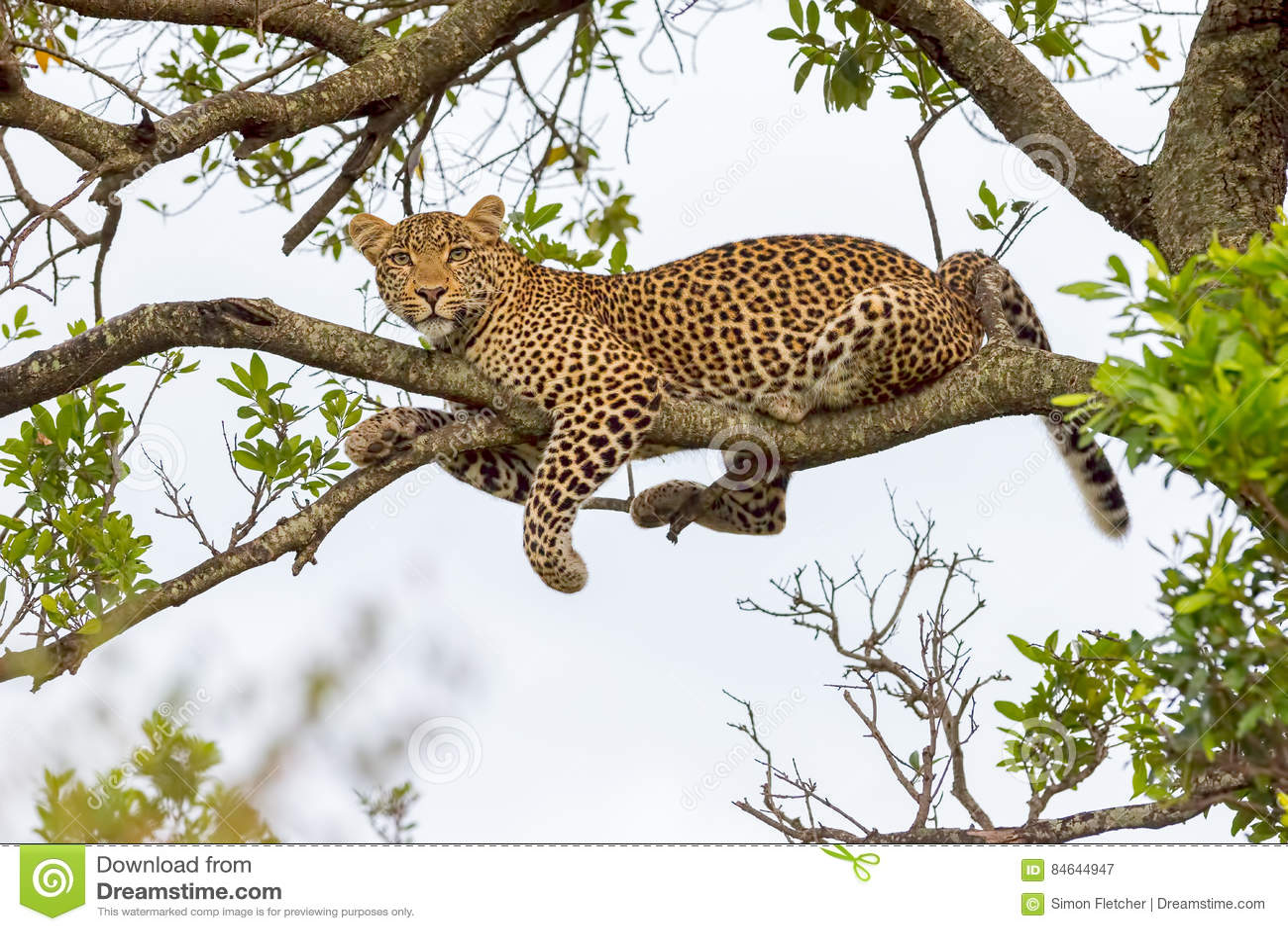 Leopardo que encontra-se no ramo