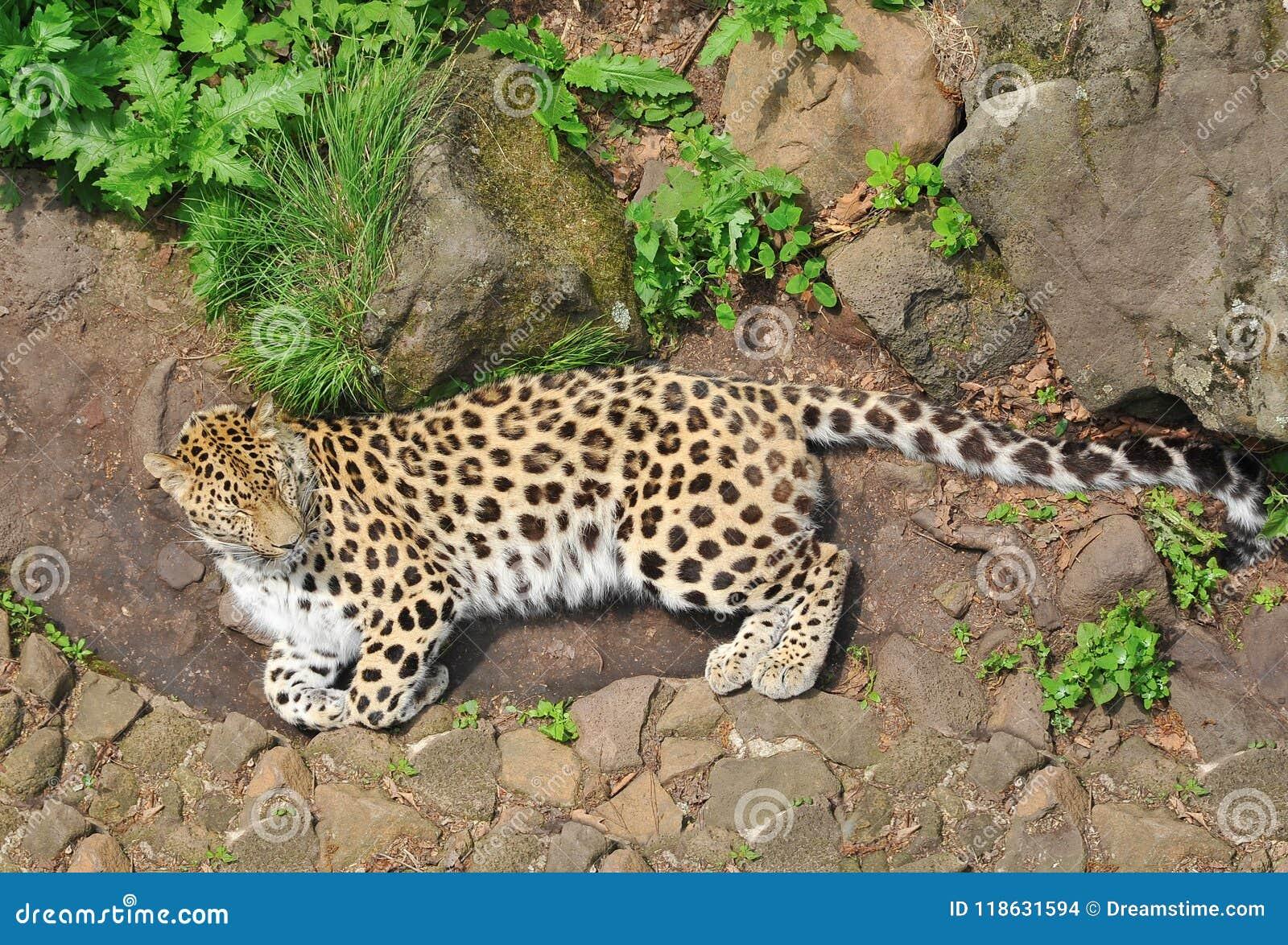 Leopardo que miente en la hierba