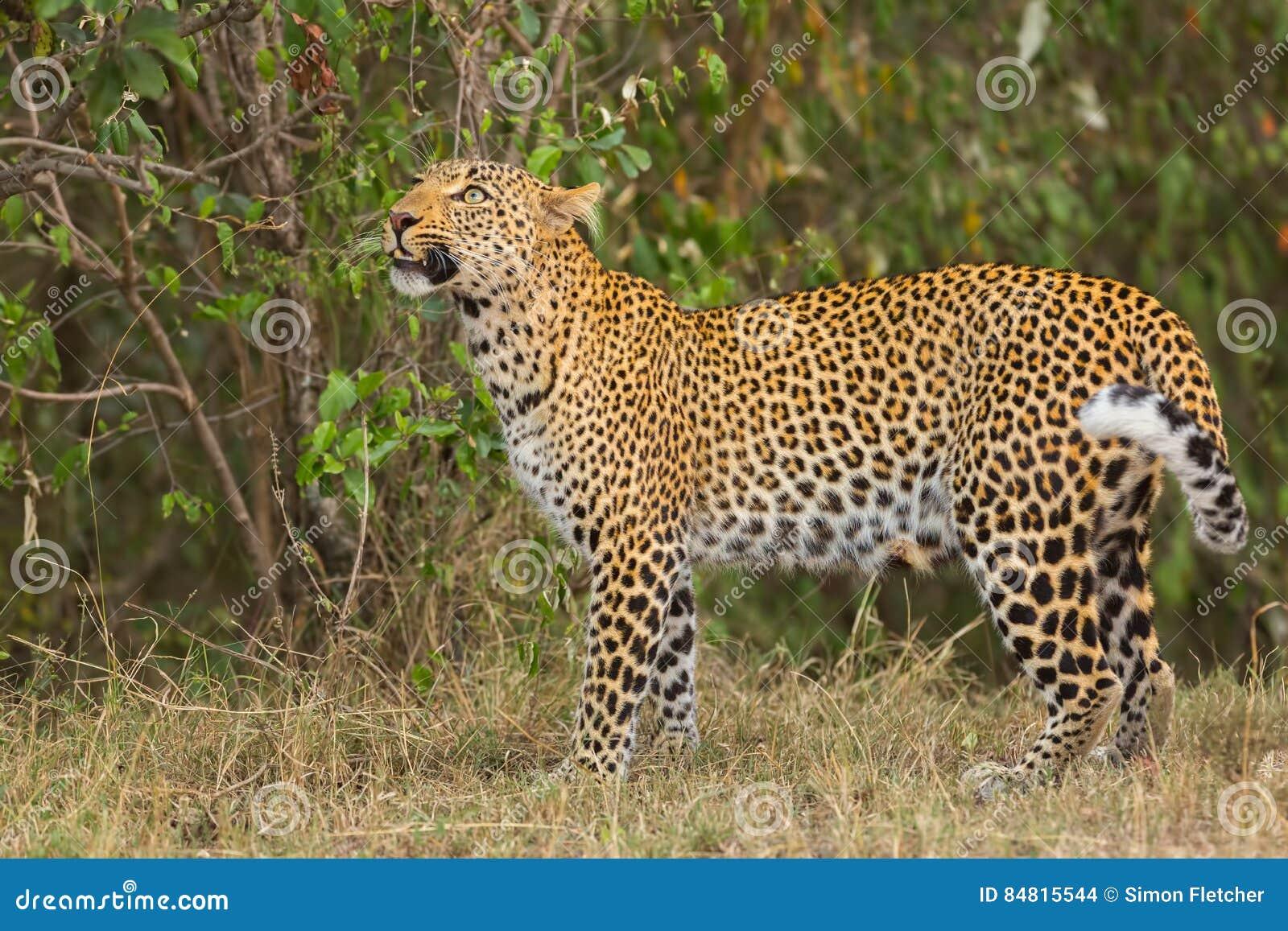 Leopardo que olha para cima