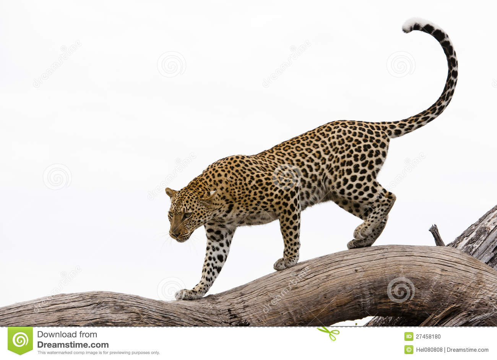Leopardo que recorre en un árbol