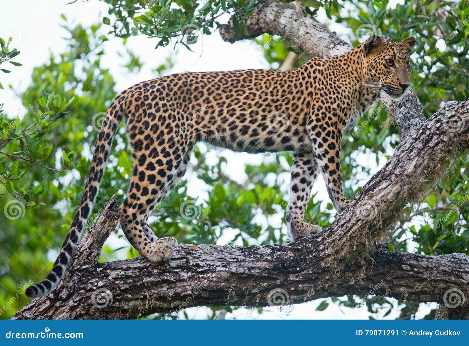 Lujo Leopardo De Impresión De Imagen Tutorial De Uñas Modelo - Ideas ...