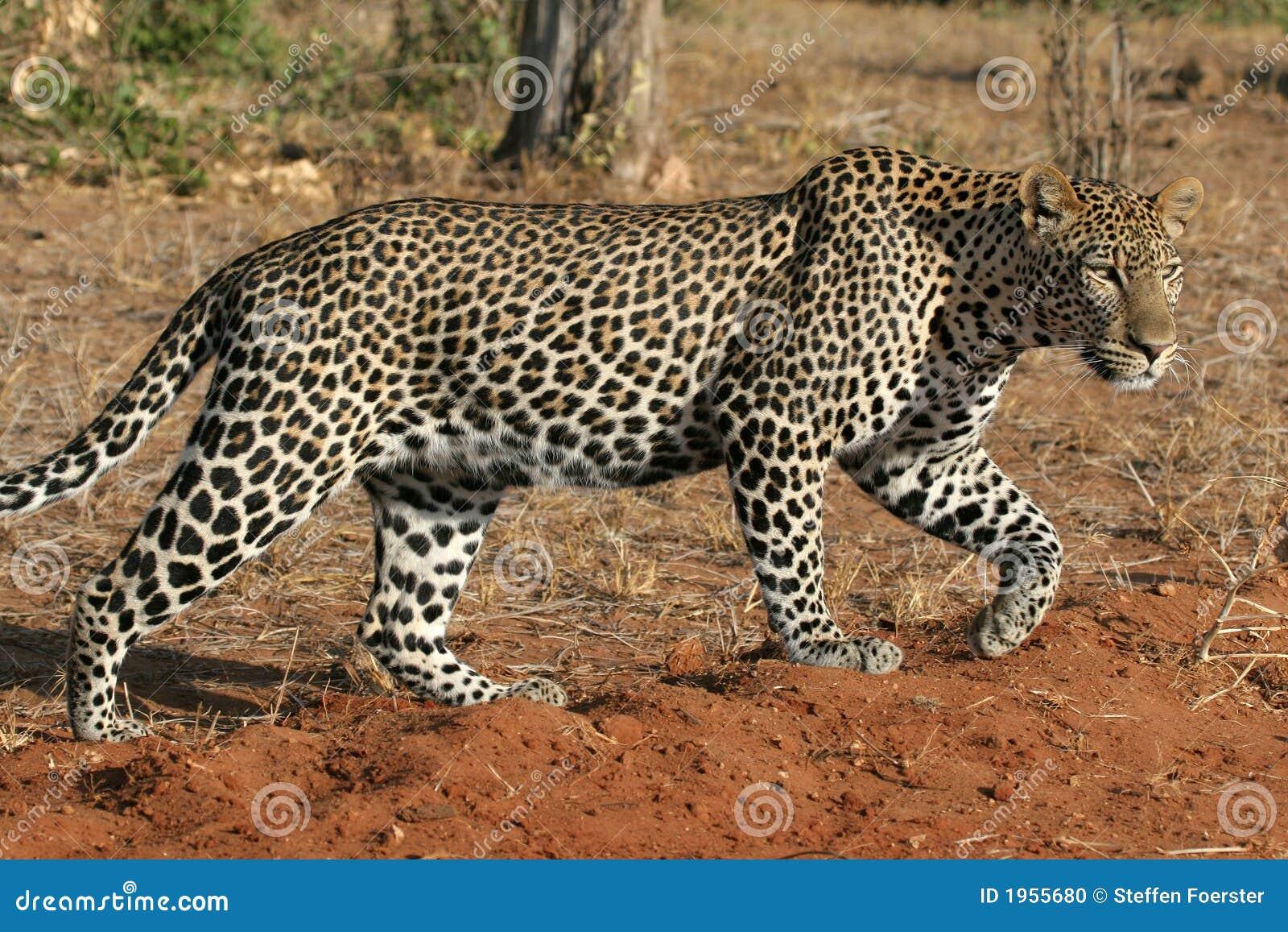 Leopardo selvagem