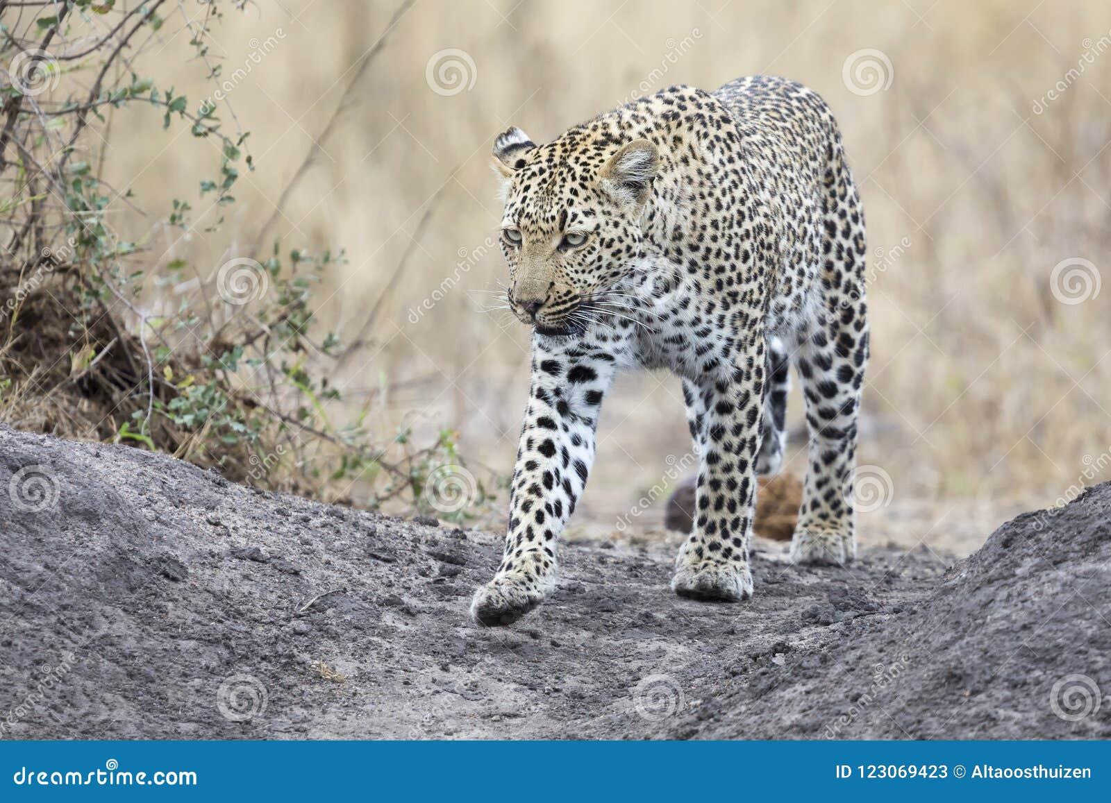 Leopardo solitário que anda e que caça durante o dia