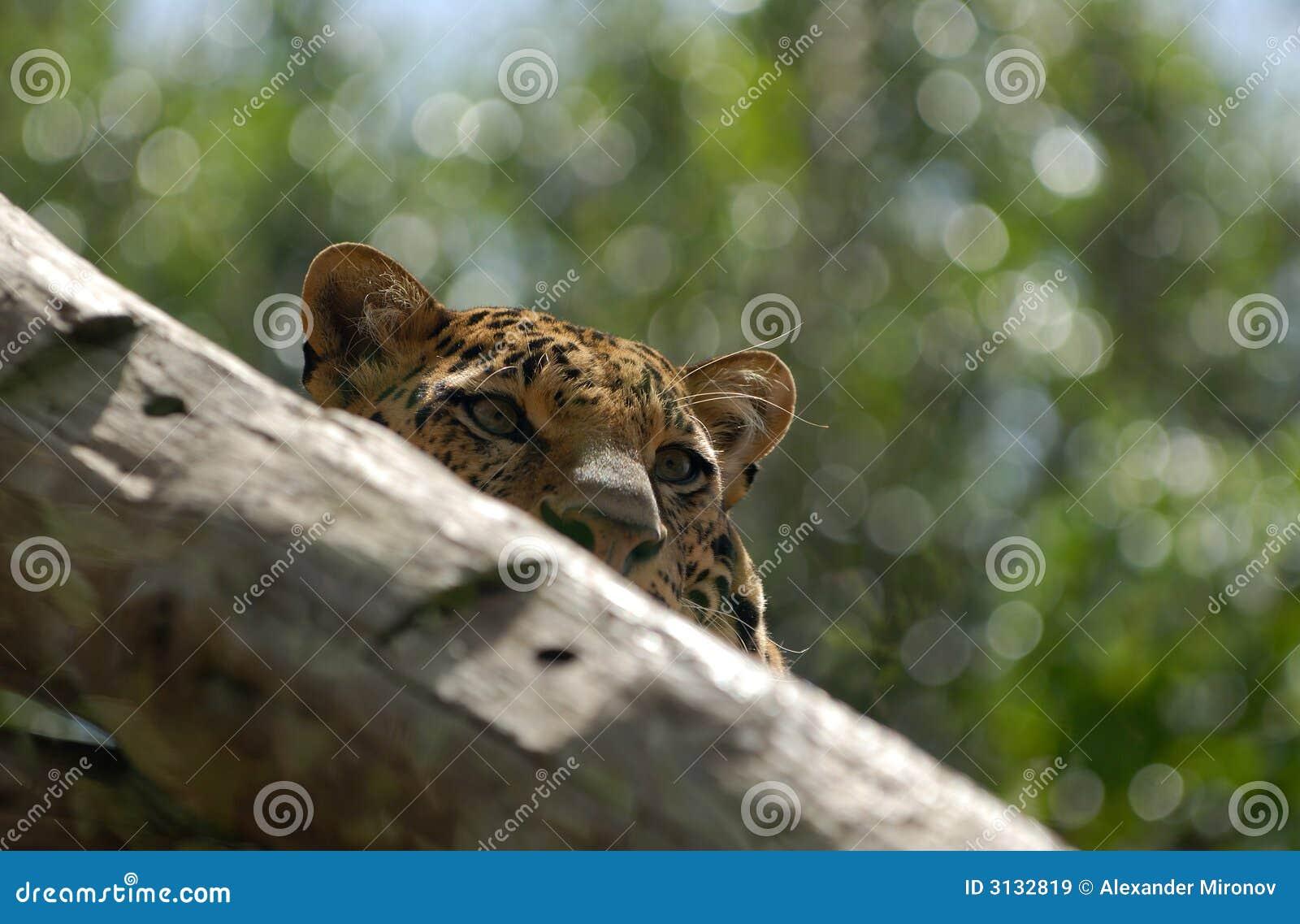 Leopardo sull albero
