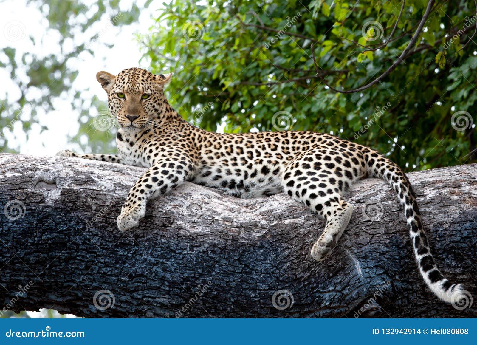 Leopardo sull albero, Botswana, Africa Leopardo vigile sul delta enorme di Okavango del tronco di albero, Botswana
