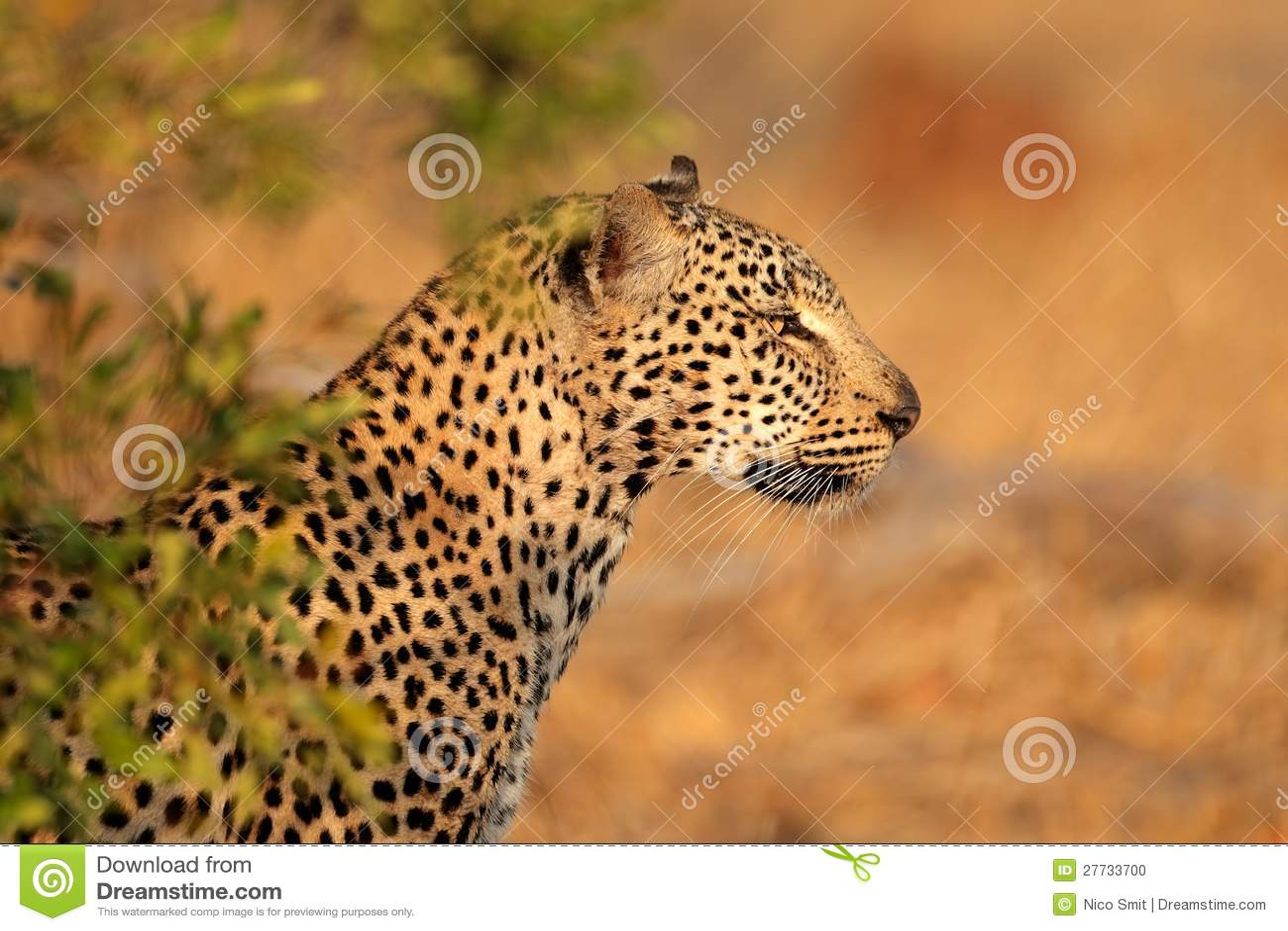 Leopardportrait