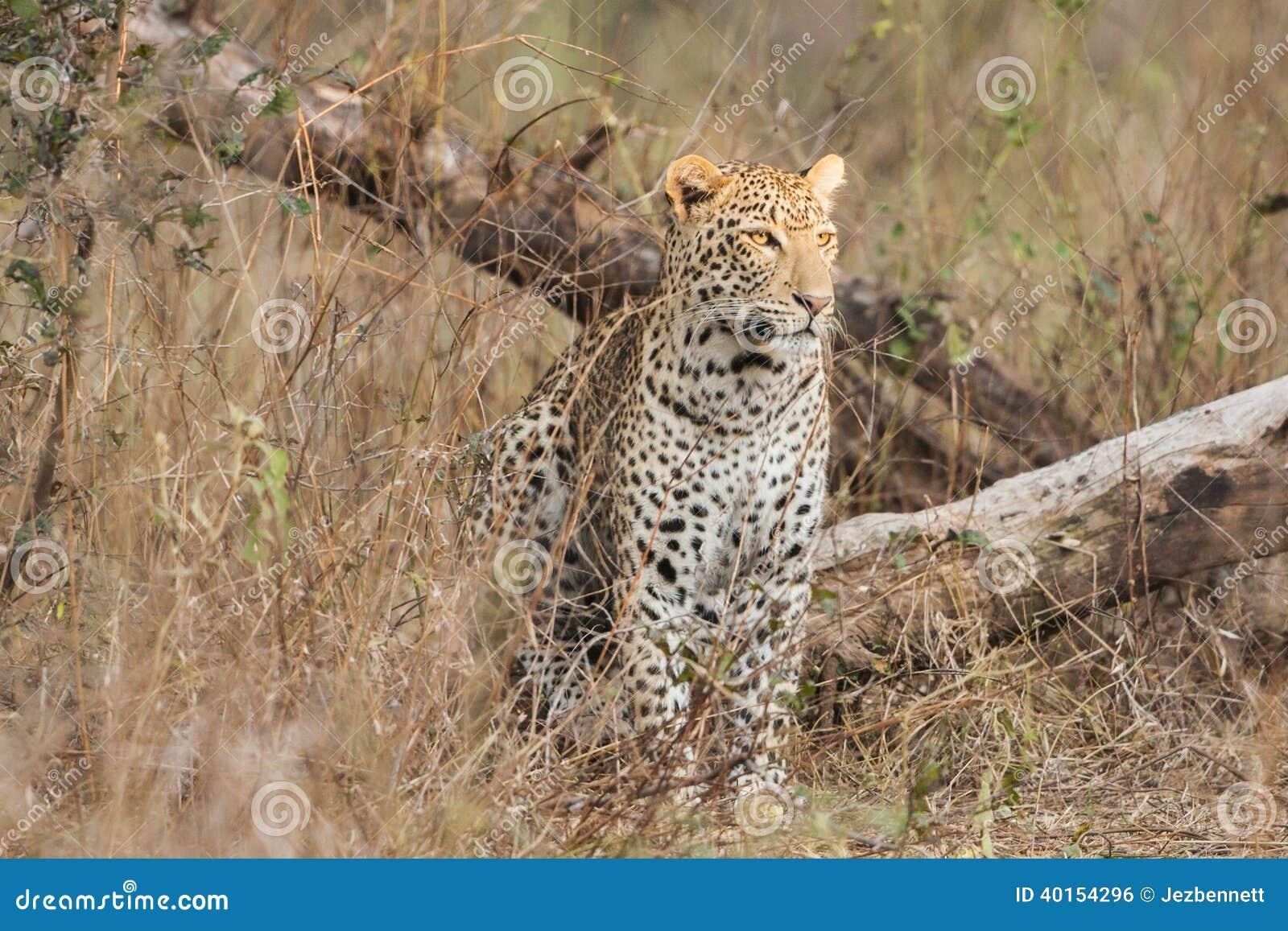 Leopardsammanträde