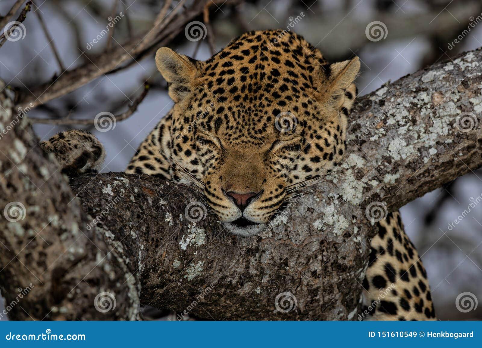 Leopardschlafen